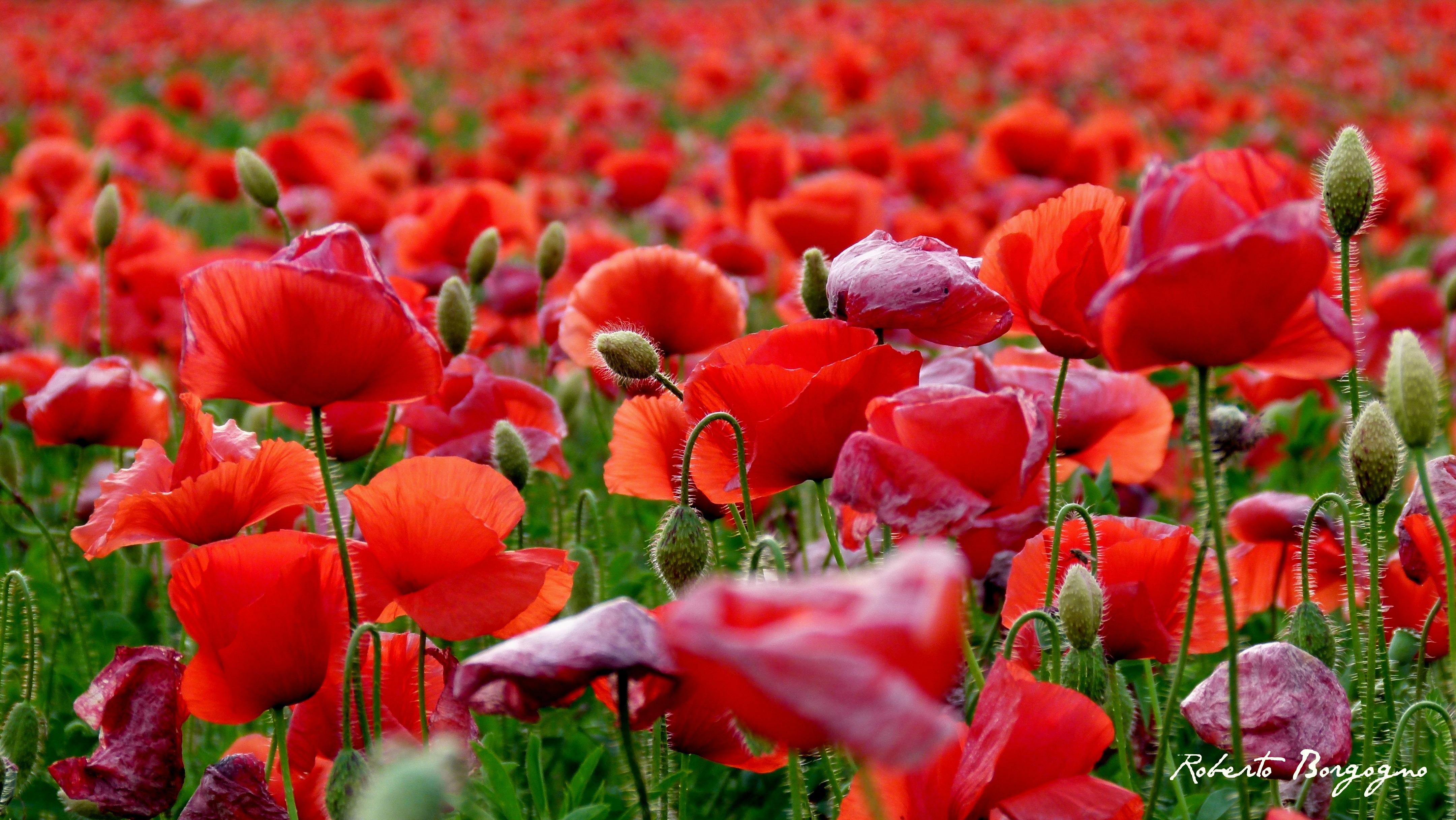 Fiori Wallpaper.Wallpaper Primavera Poppies Fiori Giugno Rosso Papaveri