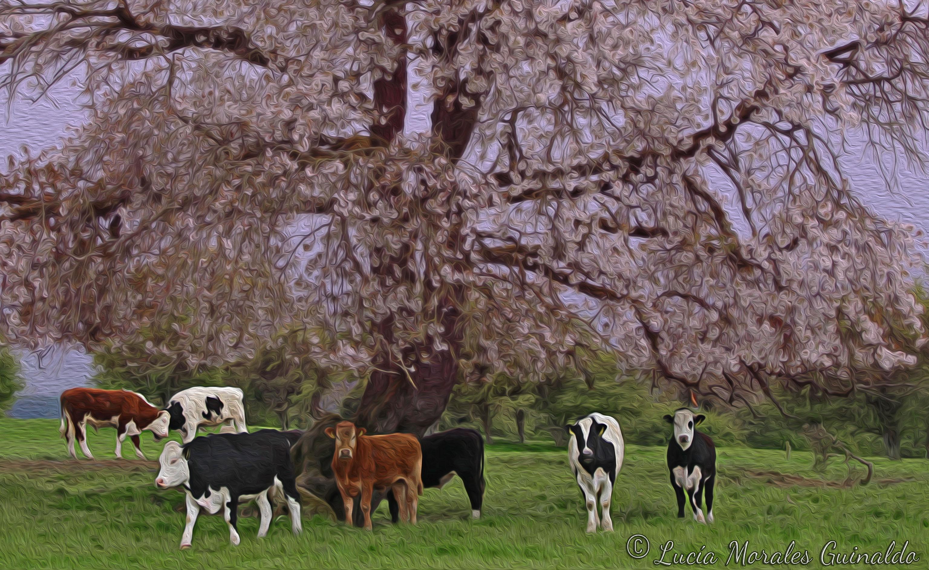 Sfondi Primavera Mucche Vacas 3072x1884 934864 Sfondi