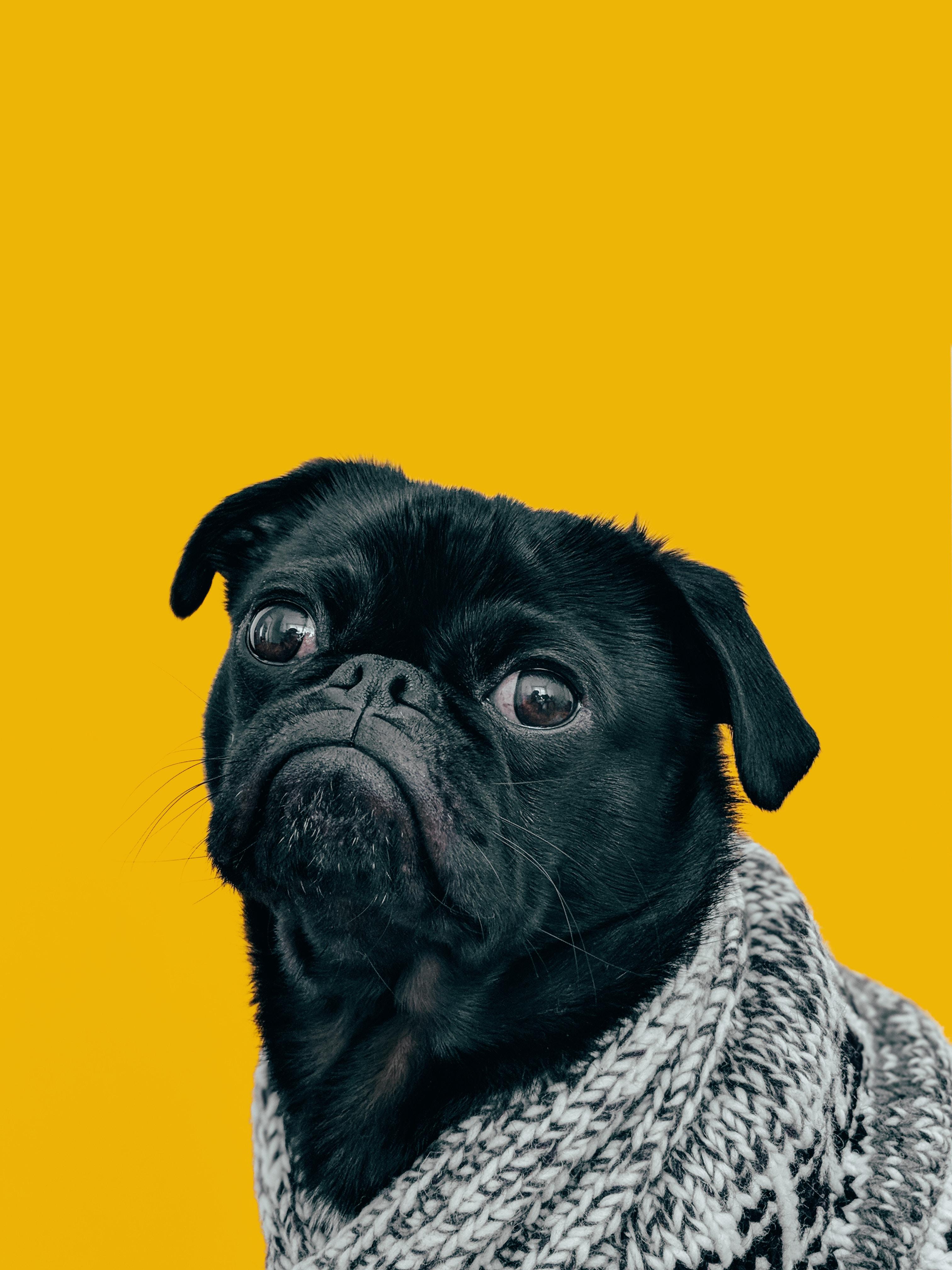 pug dog muzzle look scarf