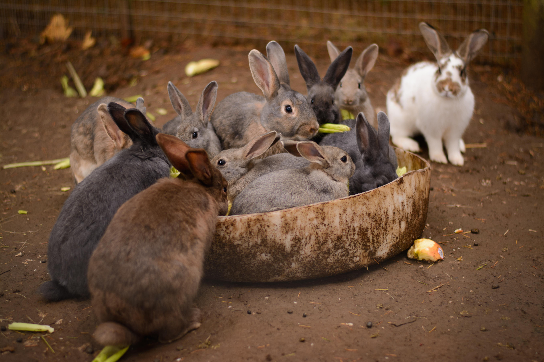 Wallpaper : pumpkin, patch, Aurora, Oregon, rabbits, bunny, ears