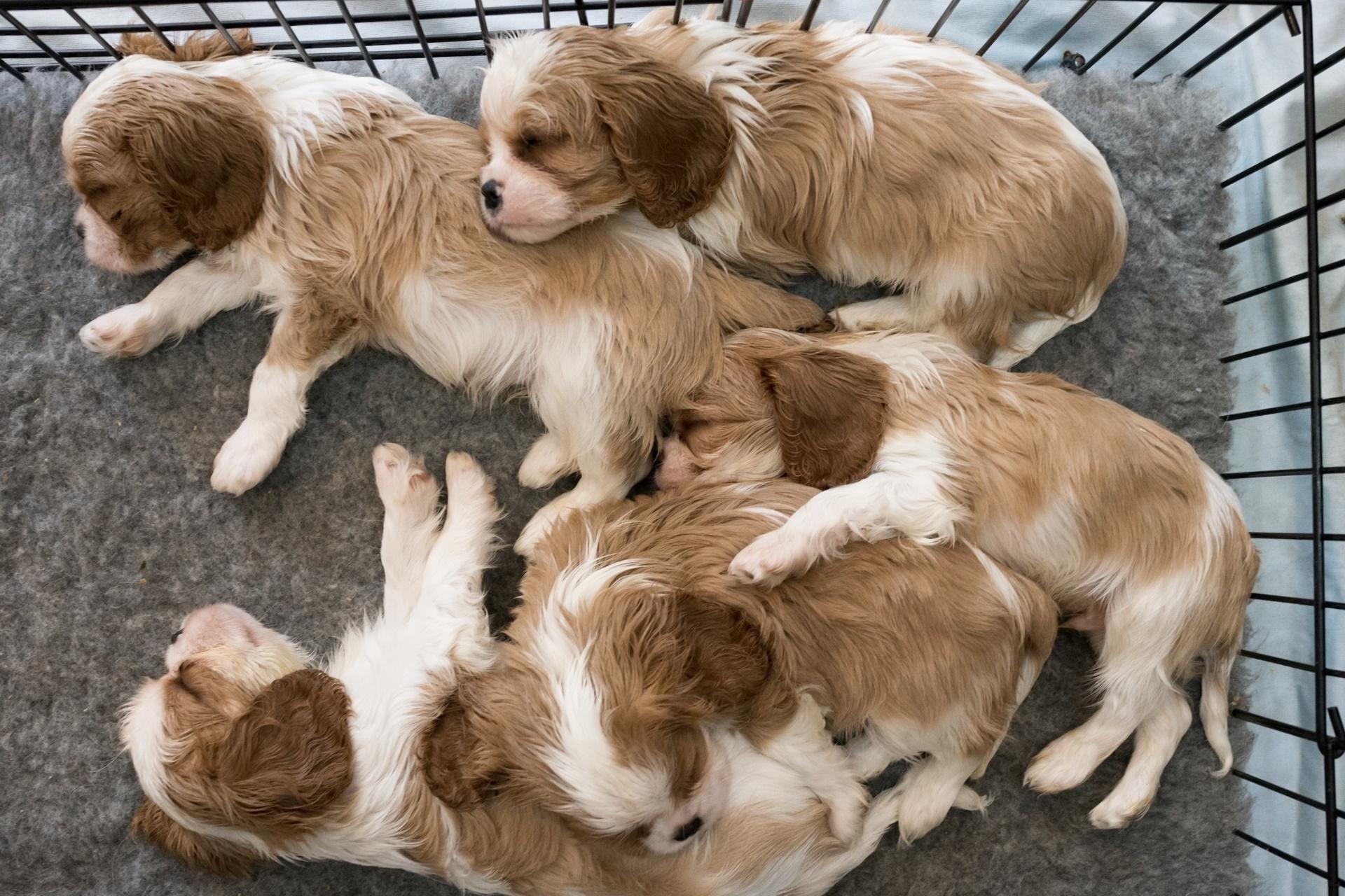 Puppies Sleeping Dog Animals