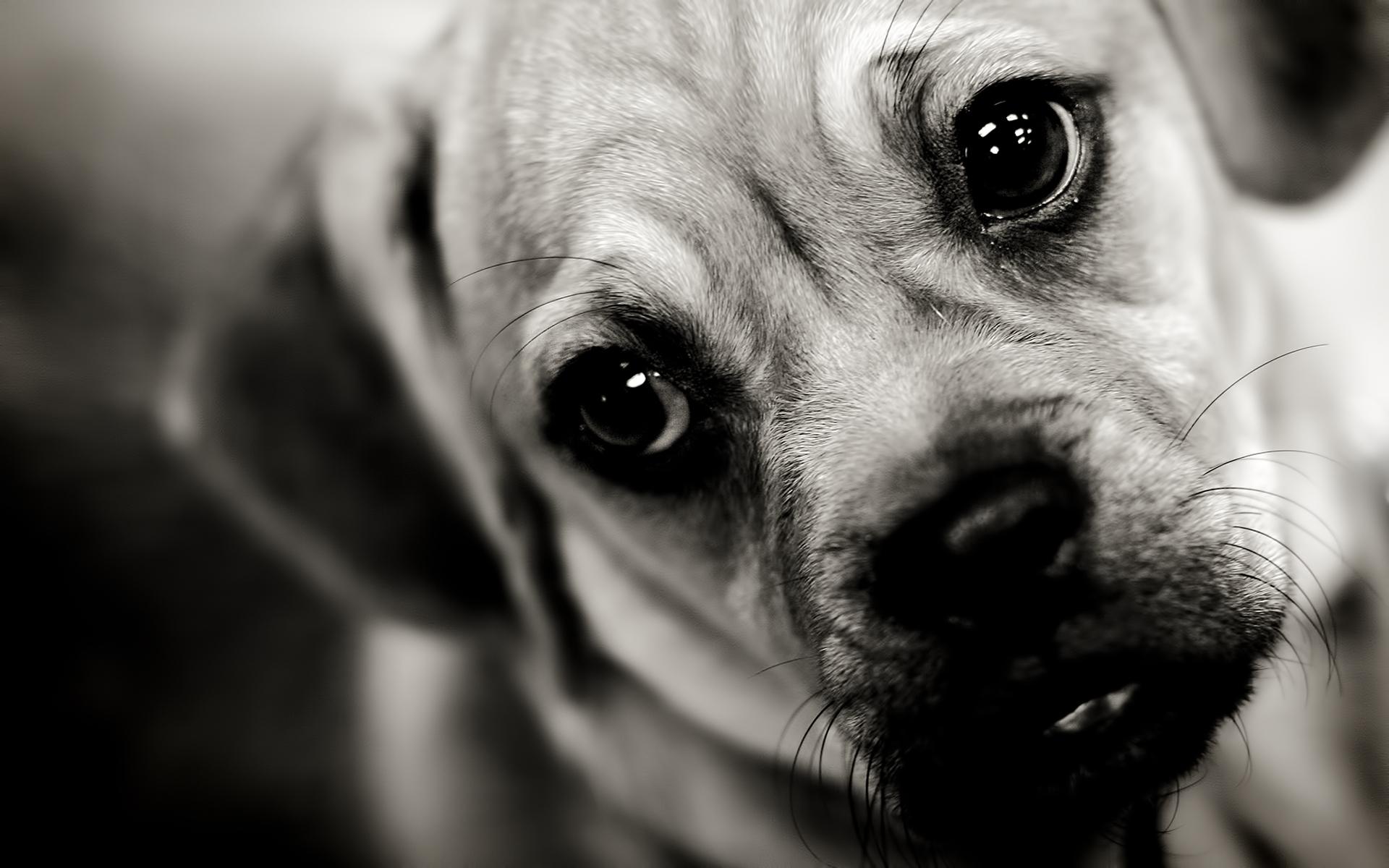Wallpaper : puppy, dog, face, sad, sight 1920x1200 ...