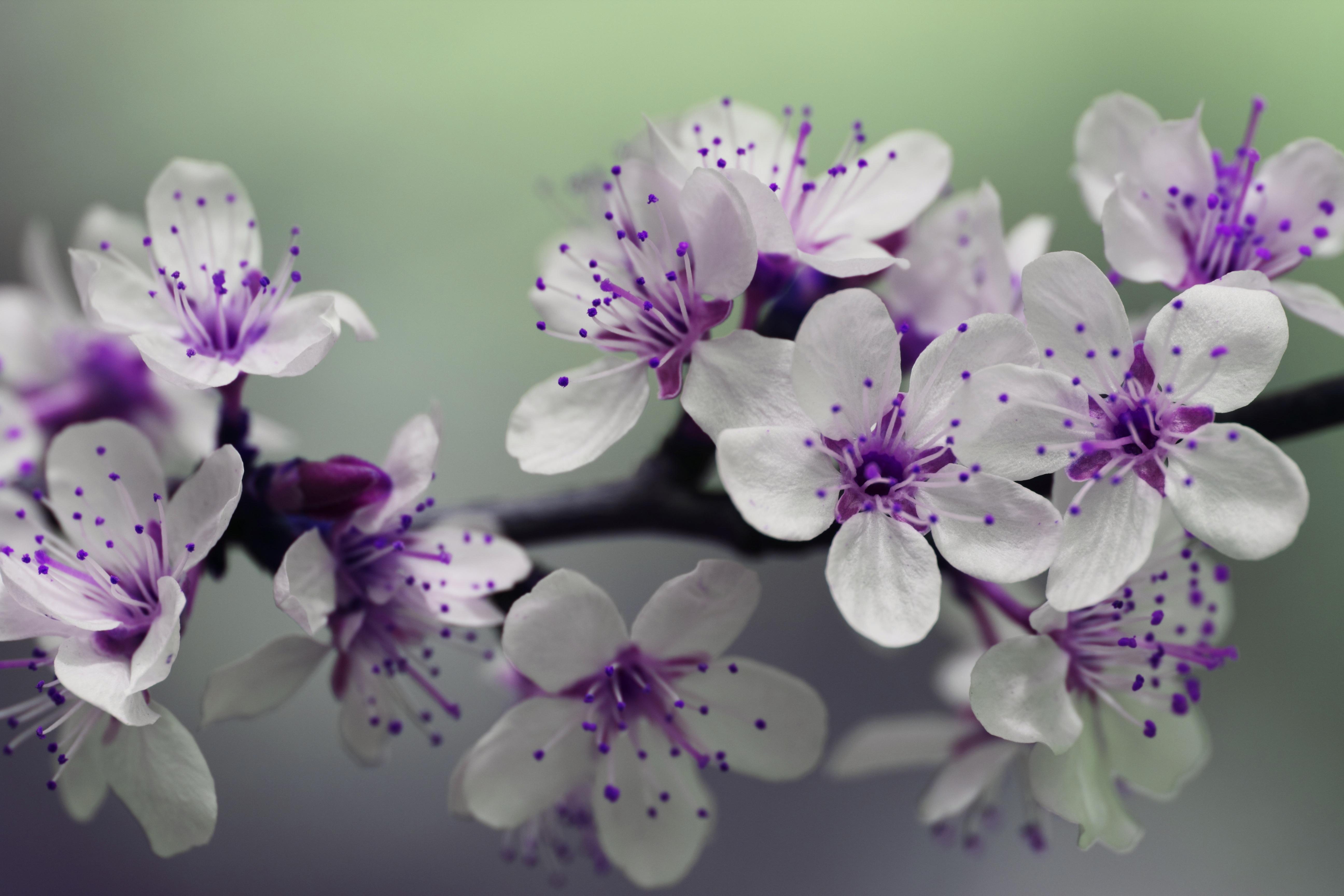 foto de Fond d'écran : violet, branche, fleur, rose, printemps, lilas ...