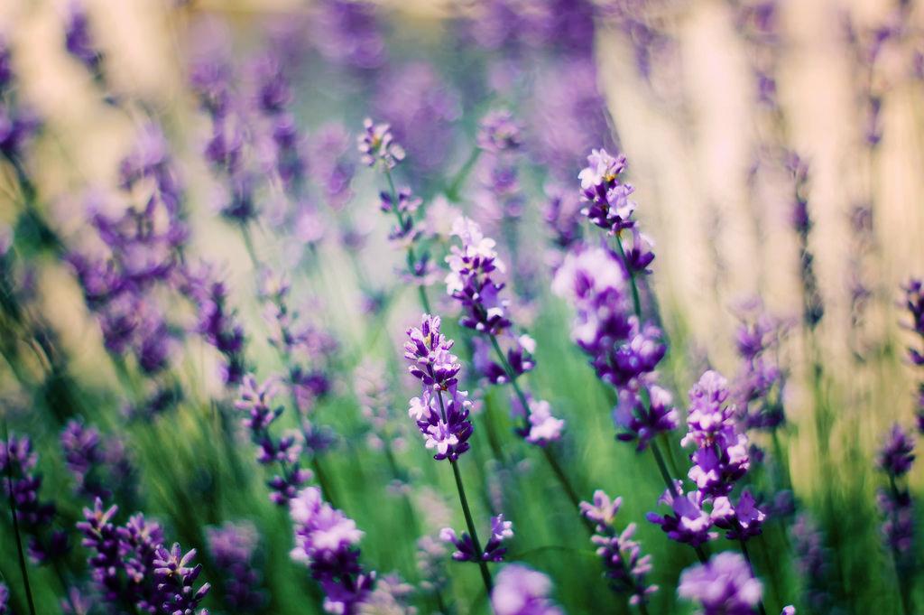 hintergrundbilder lila sommer lavendel bokeh fr hling kater blume flora d40 50mmf18. Black Bedroom Furniture Sets. Home Design Ideas