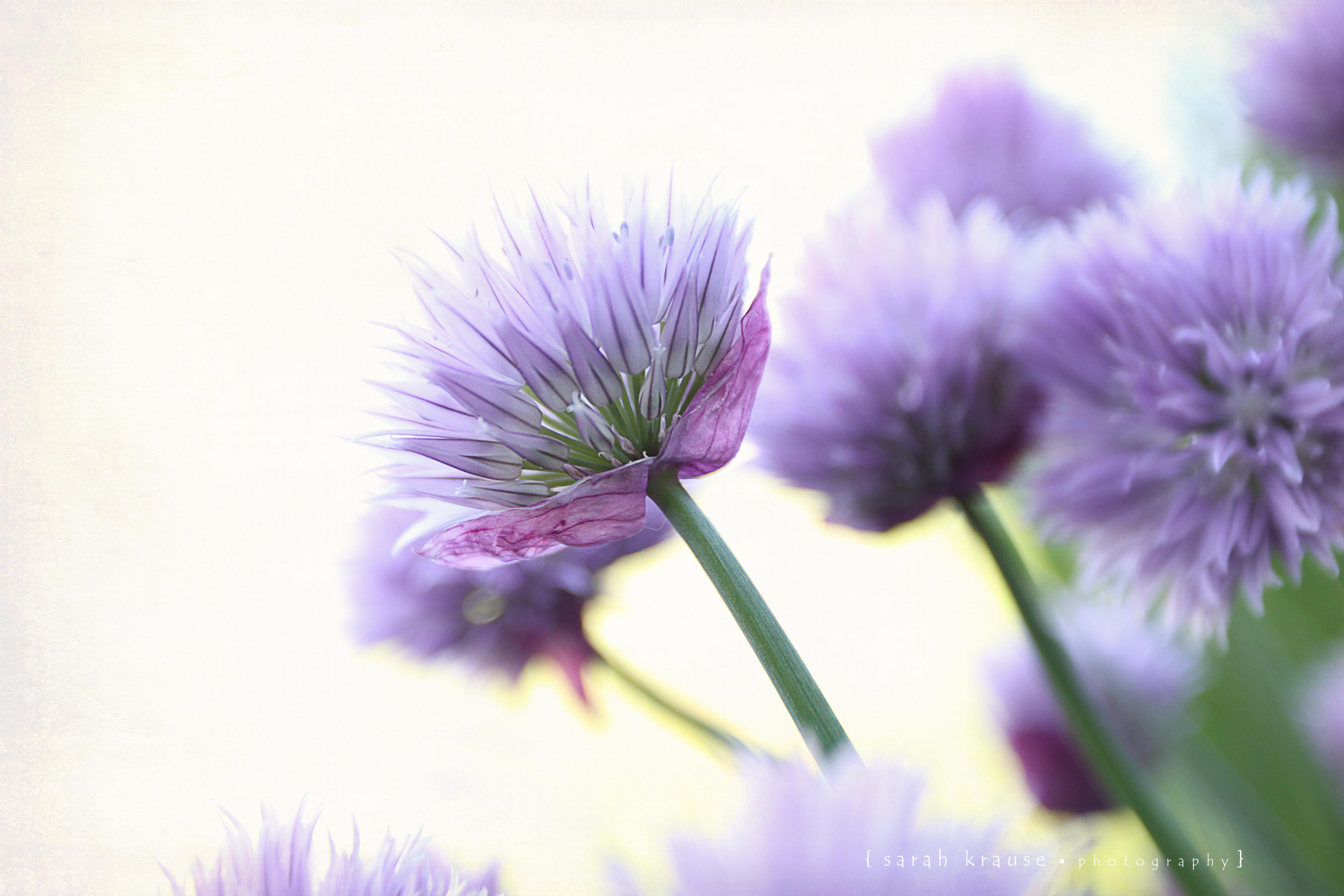 Fond d 39 cran violet texture fleur printemps flore p tale chardon fleur sauvage papier - Image fleur violette gratuite ...
