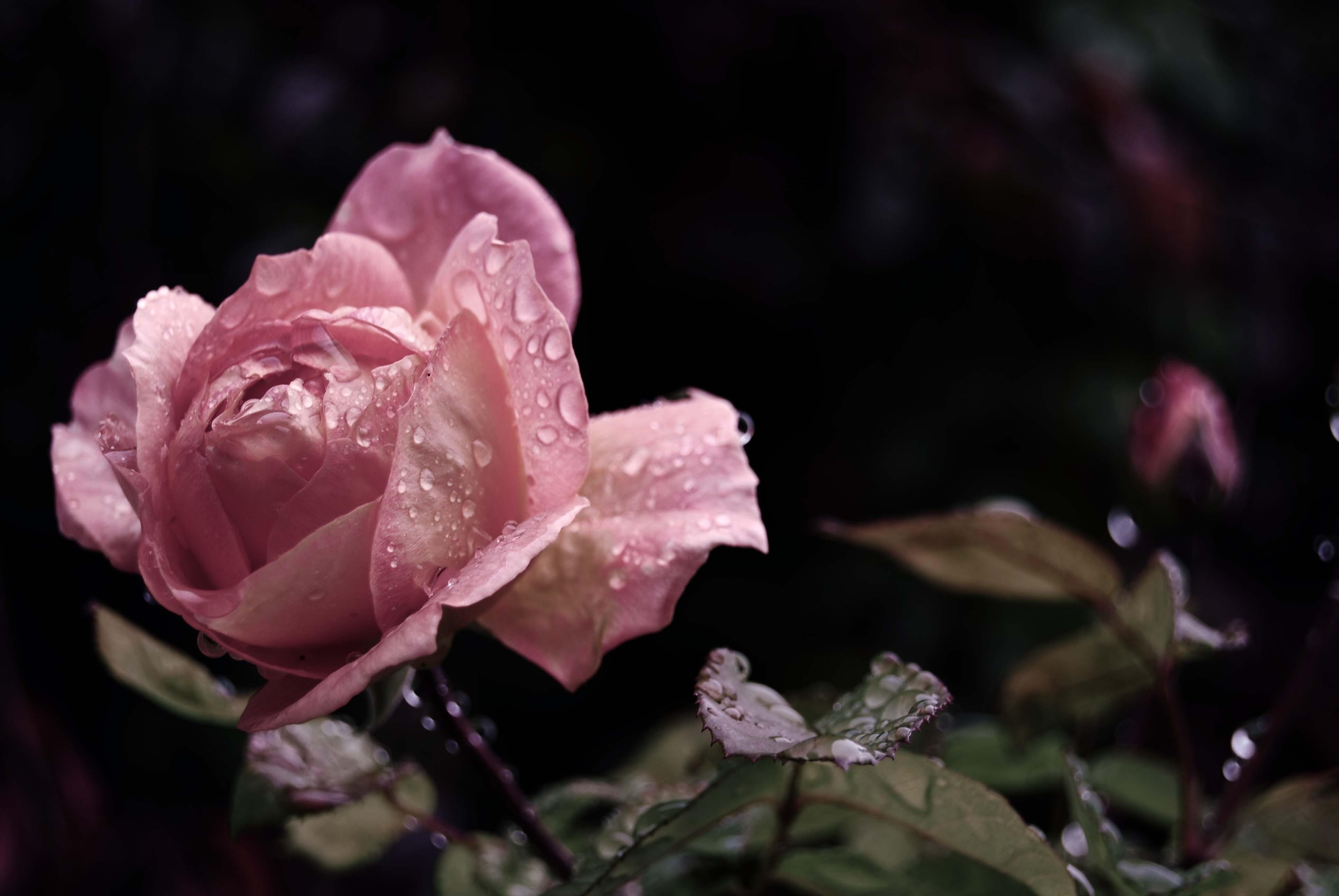 Wallpaper Rain Blossom Pink Leaf Flower Flora Drops