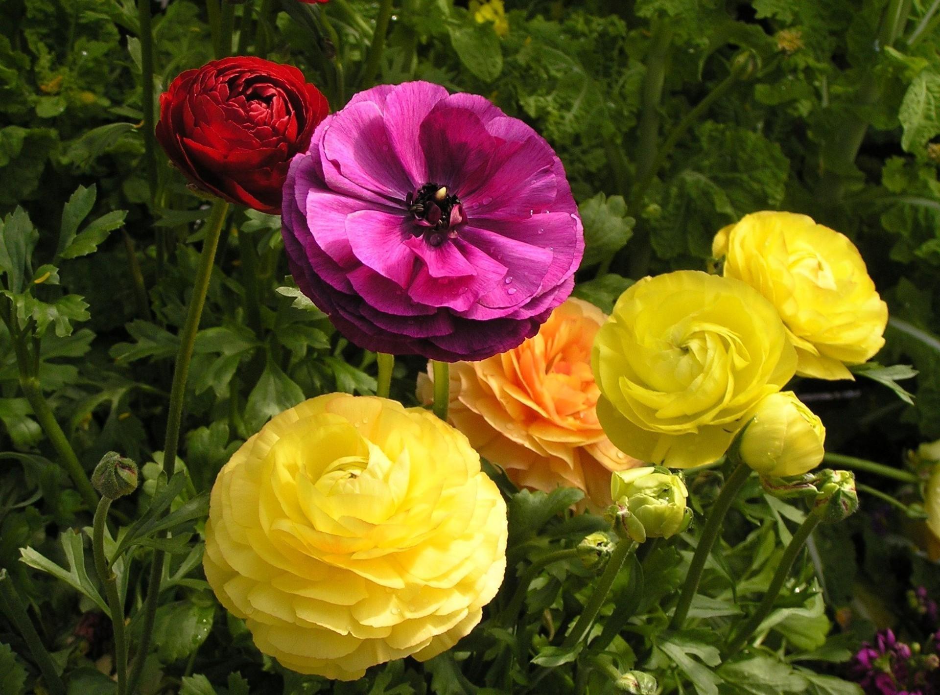 лютики цветочки фото же, таким