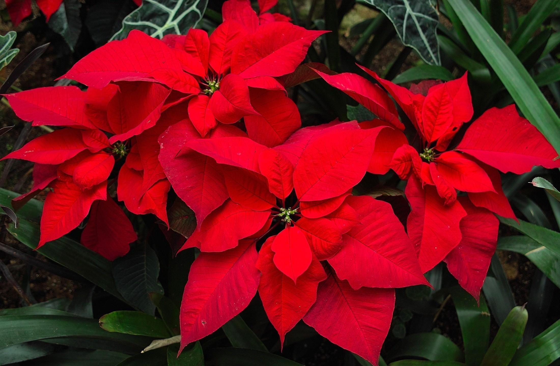 Цветок пуансетия - пересадка, уход и размножение 57