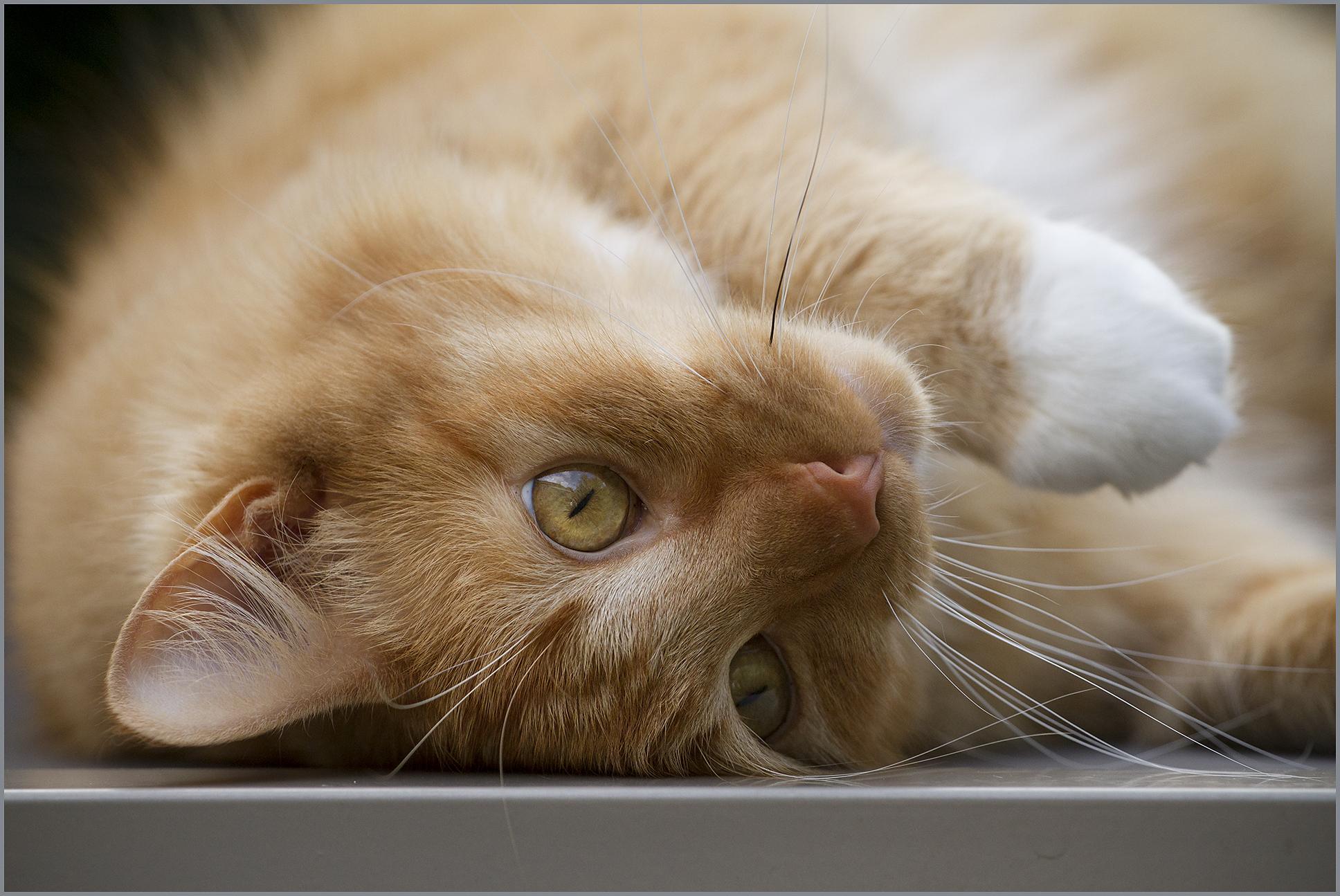 Hintergrundbilder Rot Orange Katze Ingwer Augen Kat Chat
