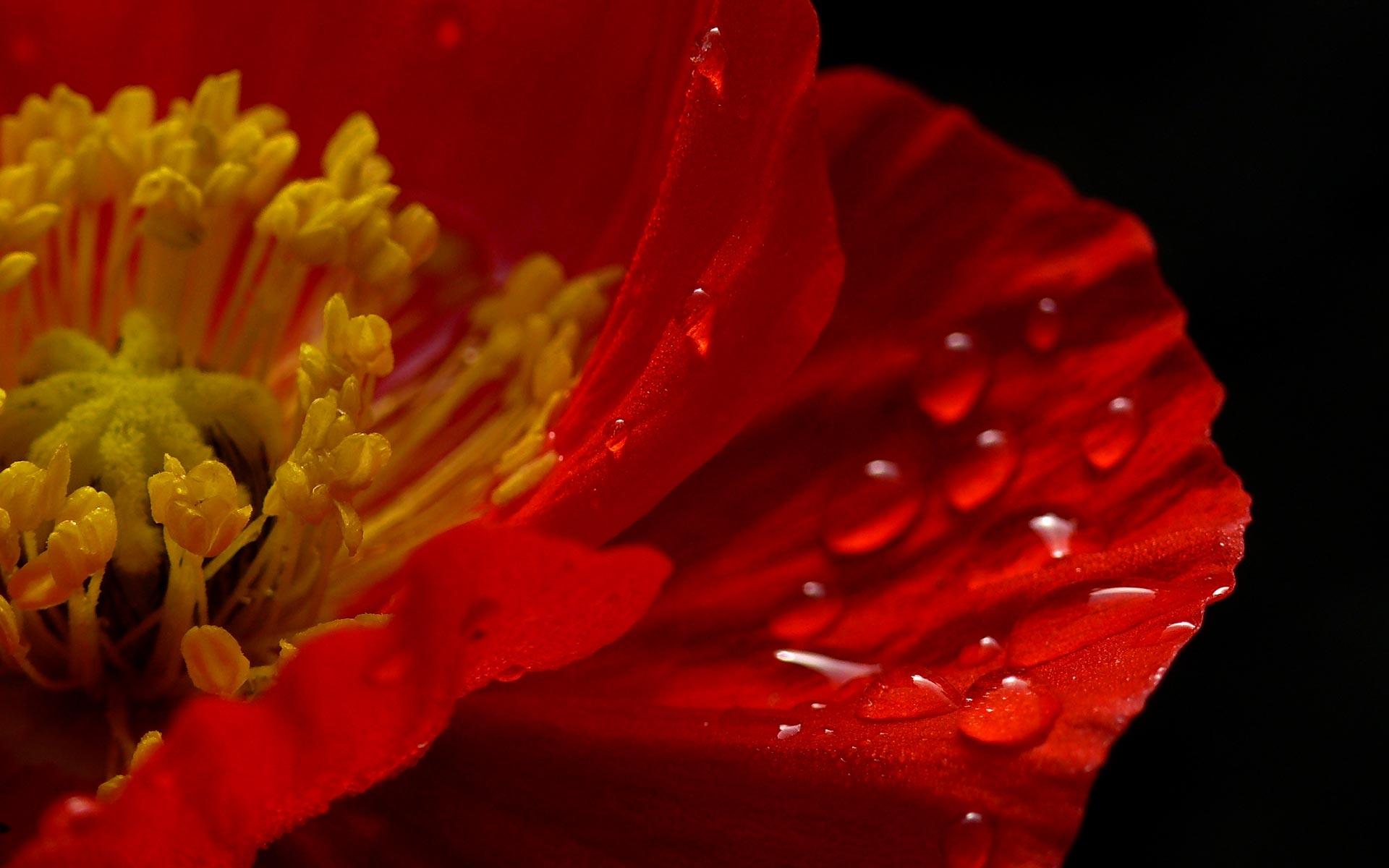 фото красный цветок на черном фоне вот наверно