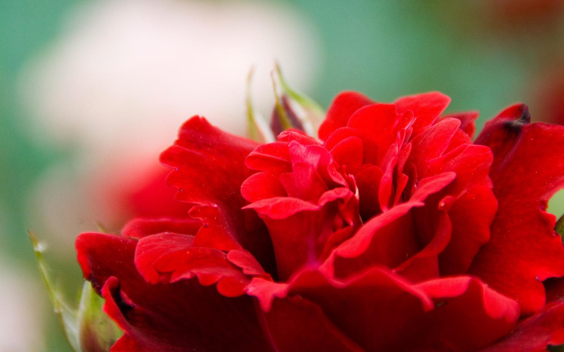 Картинка нежные цветы красные, тему великая