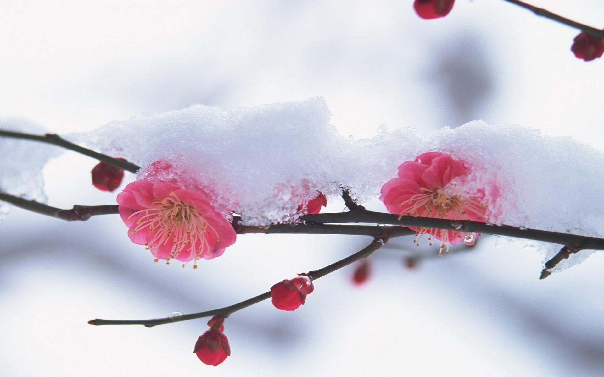 hintergrundbilder rot himmel schnee winter ast kirschbl te bl hen rosa fr hling blume. Black Bedroom Furniture Sets. Home Design Ideas