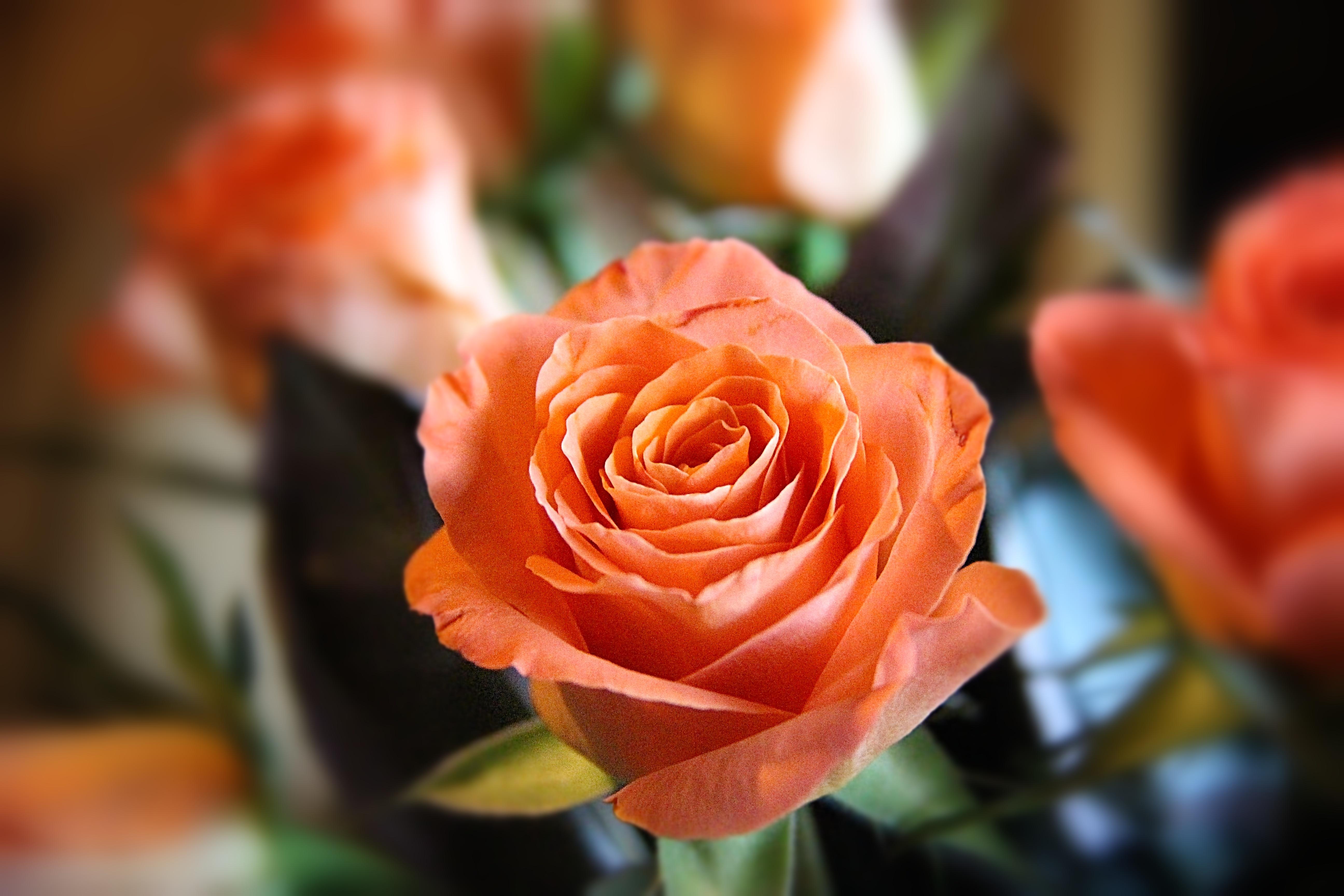 Sfondi rosso giallo canone fiore memoria flora for Rose da giardino