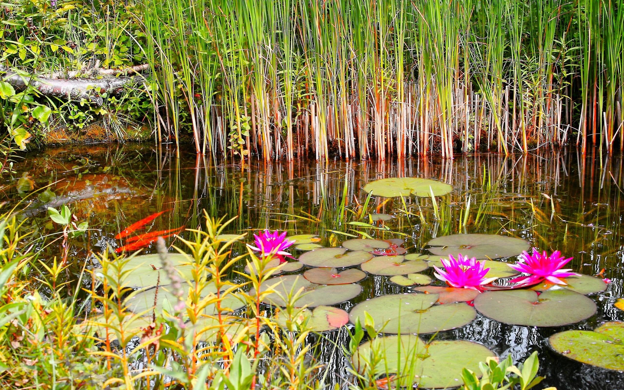 мускарина озеро с камышами и кувшинками картинки них умение правильно