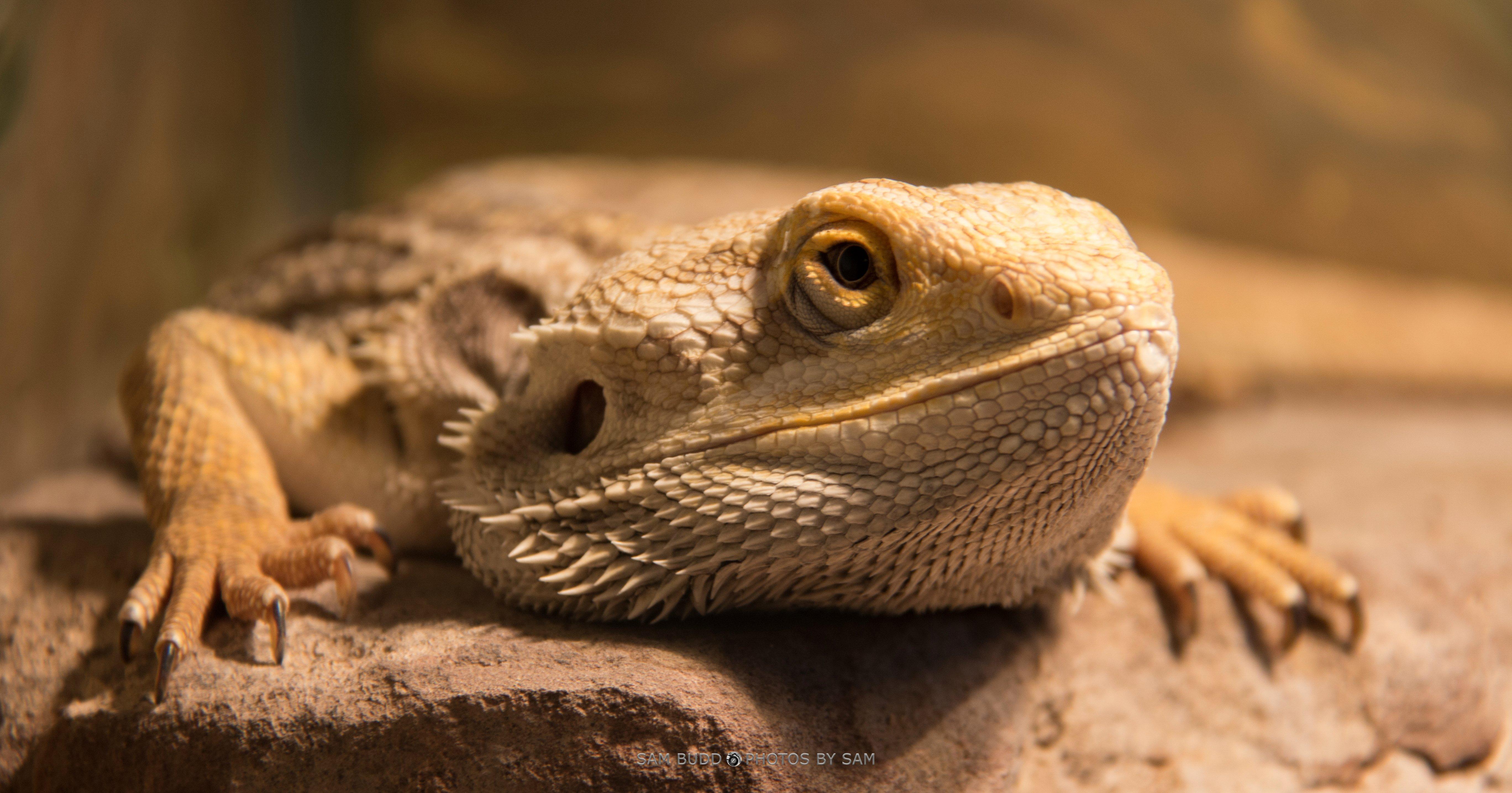 reptile scaled reptile fauna terrestrial animal lizard agama agamidae close up organism iguania komodo dragon macro