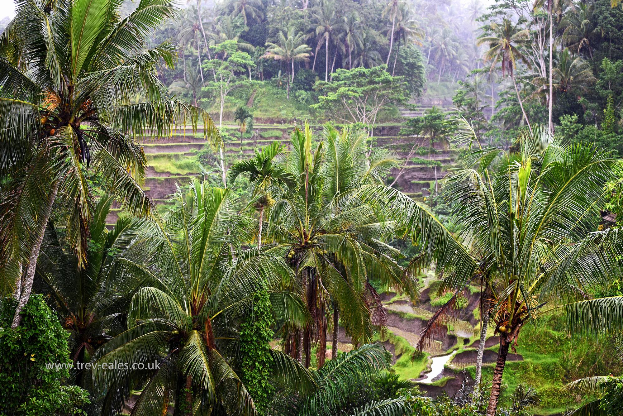 hintergrundbilder reisfelder riceterrace handfl chen kokusnuss palme kokosnuss banane. Black Bedroom Furniture Sets. Home Design Ideas