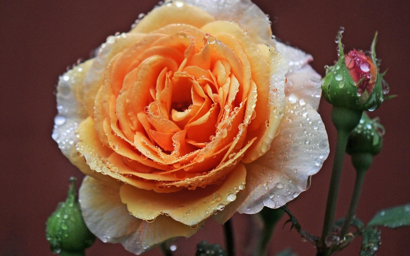 дошкольником, открытка одна крупная роза передавать чертежи