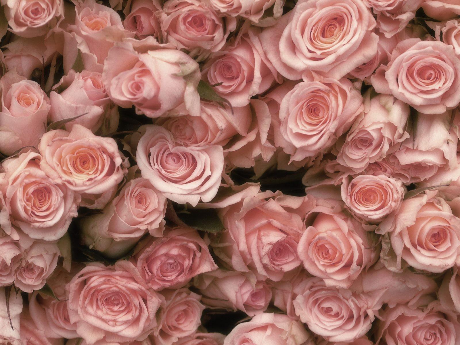 розовые розы обои на рабочий стол в высоком качестве № 130104  скачать