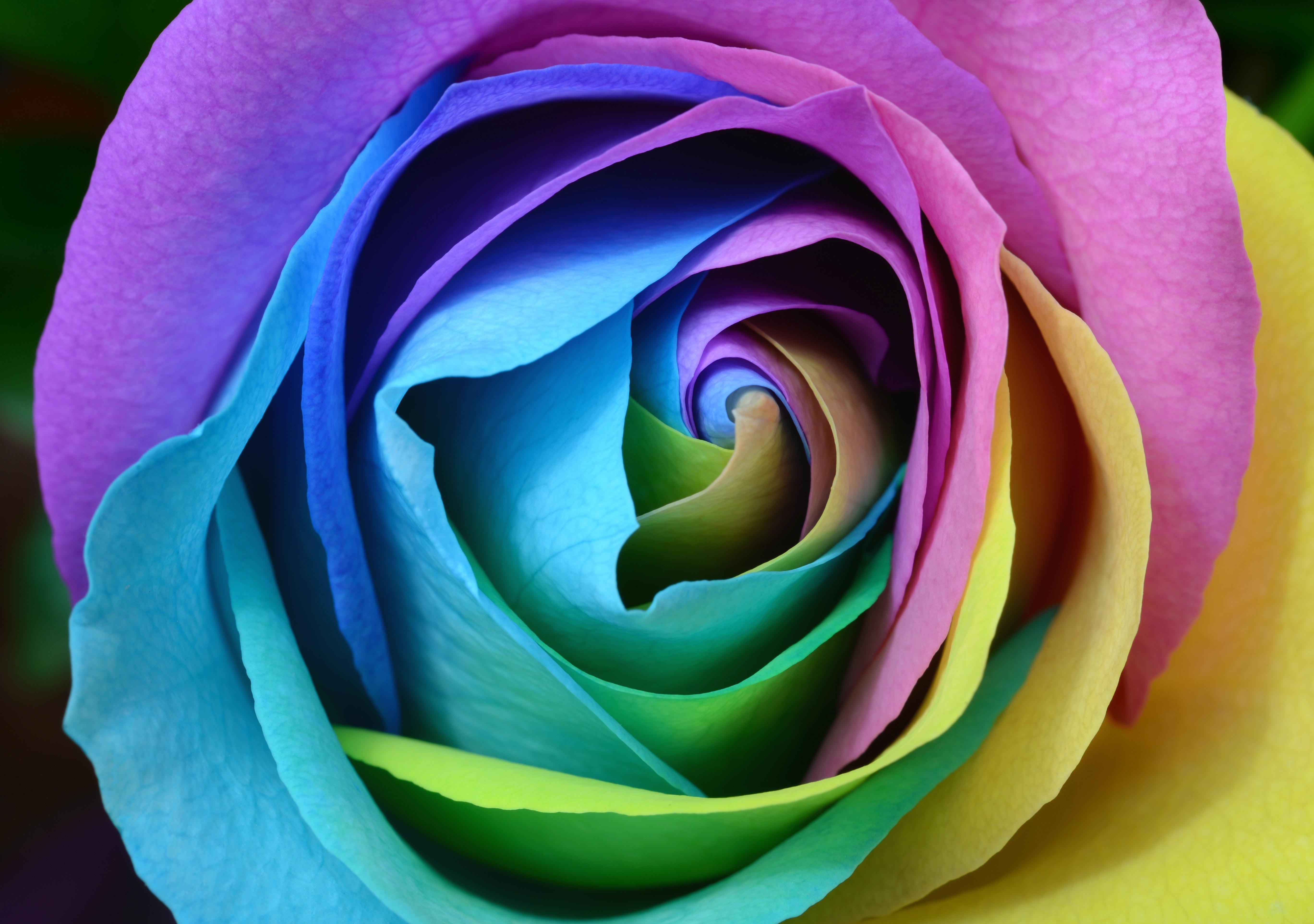 Картинки фото всех цветов розы