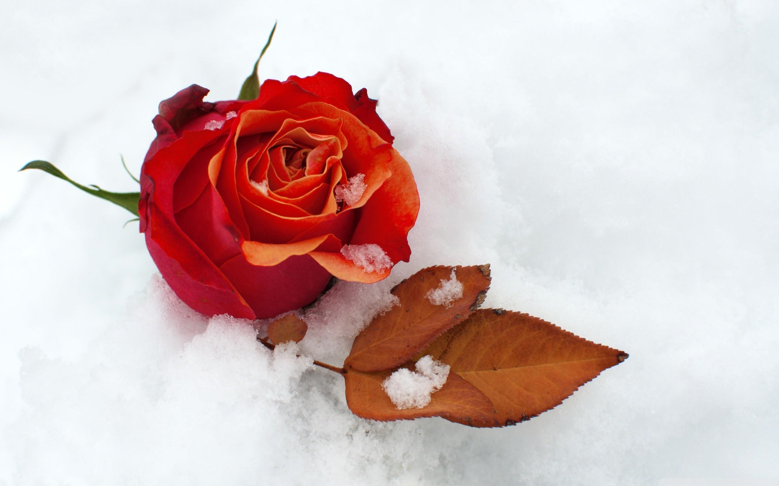Картинки цветы на снегу красивые