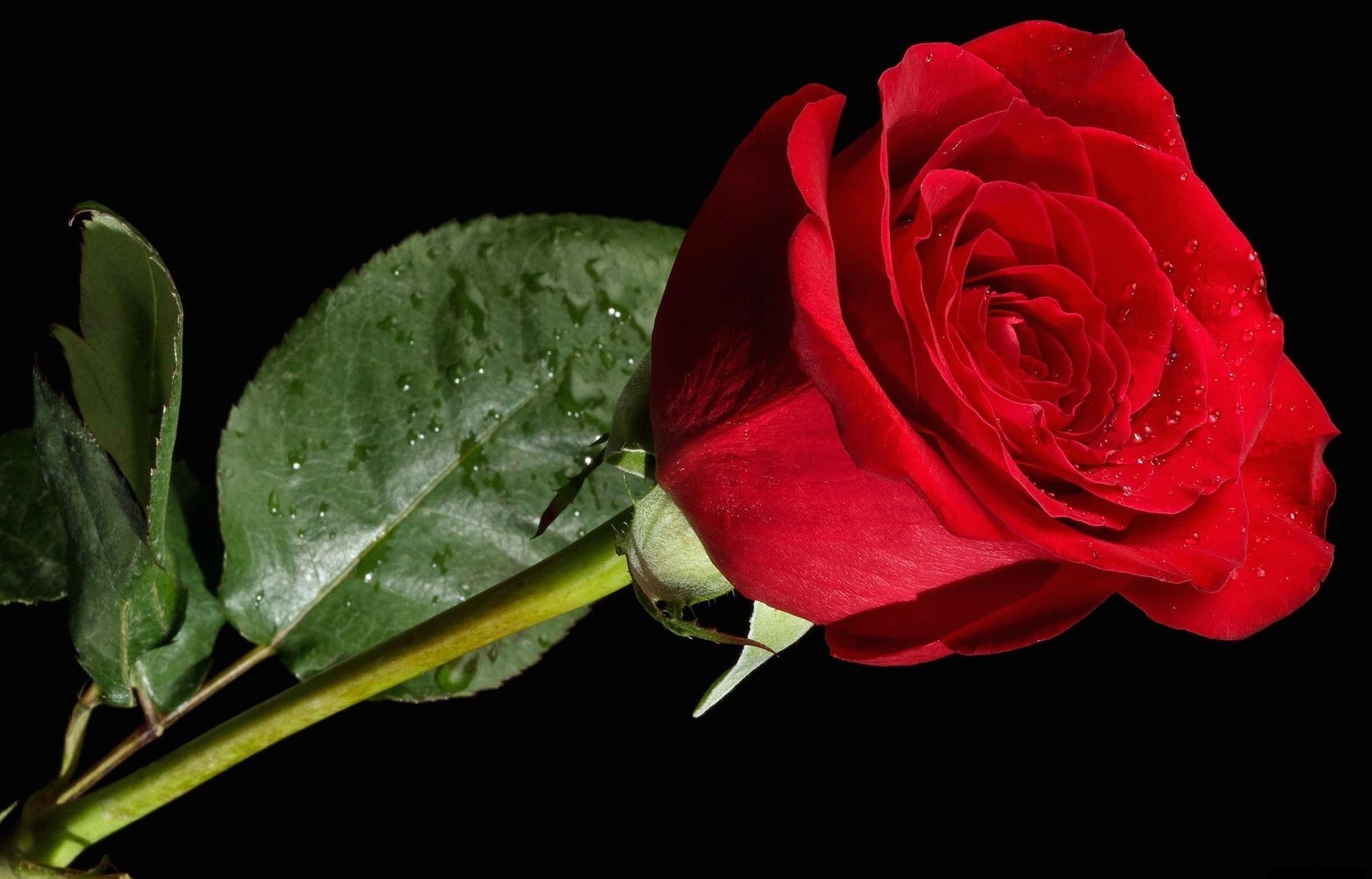 Sfondi Rosa Fiore Rosso Sfondo Nero 2200x1410 Coolwallpapers