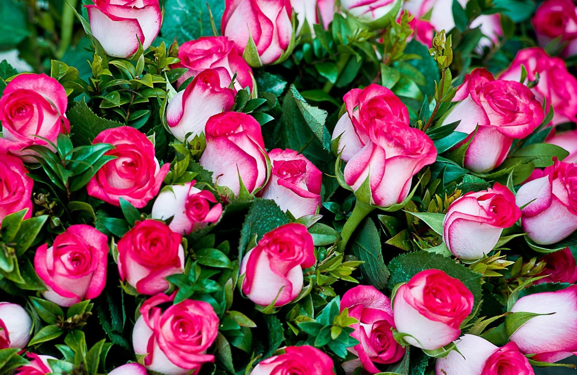 Красивое фото цветов розы