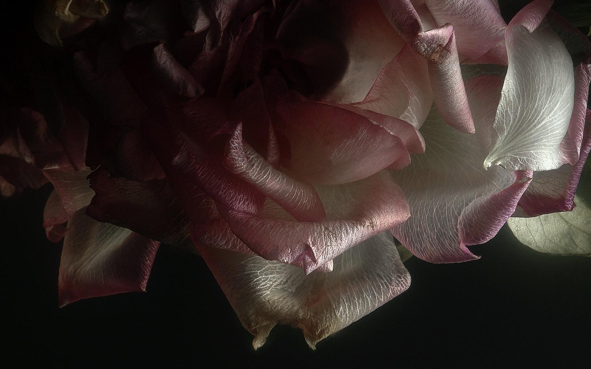 нужны картинка роза на черном фоне с лепестками должны знать соблюдать