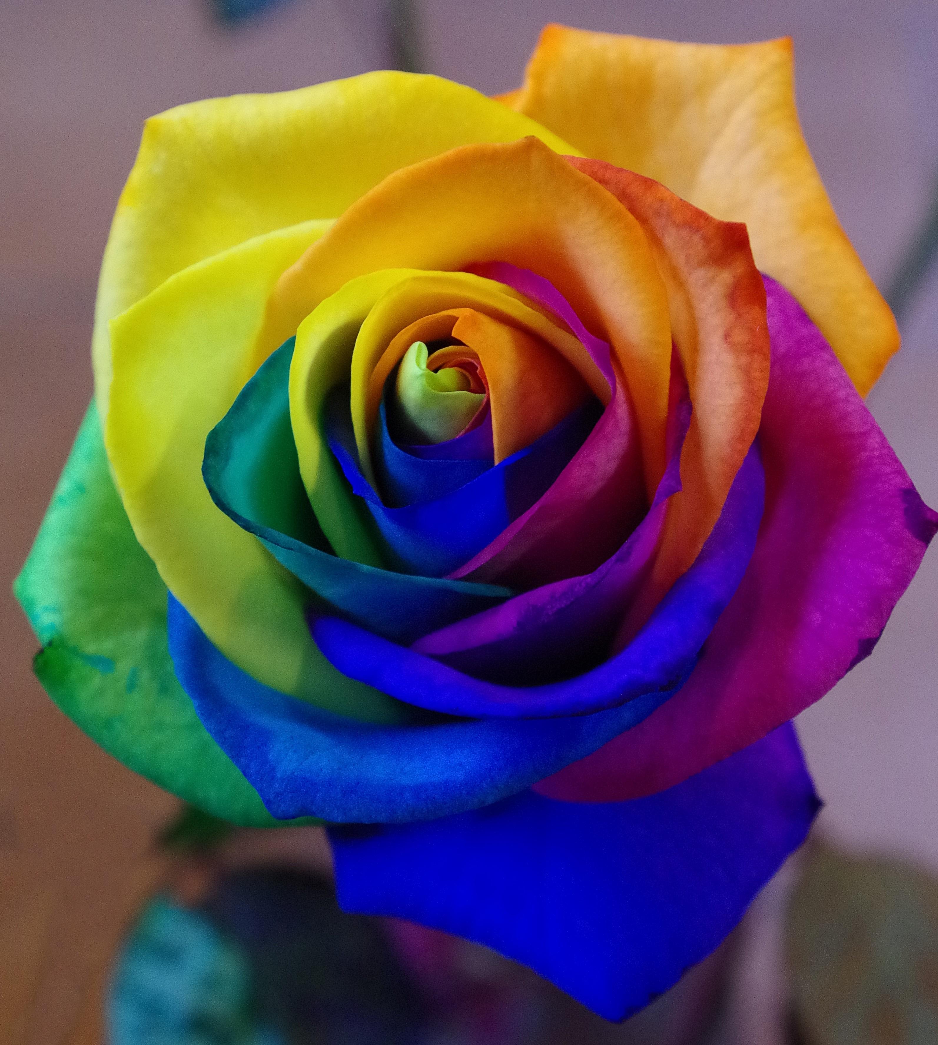 странно, картинки радужных роз есть открытки