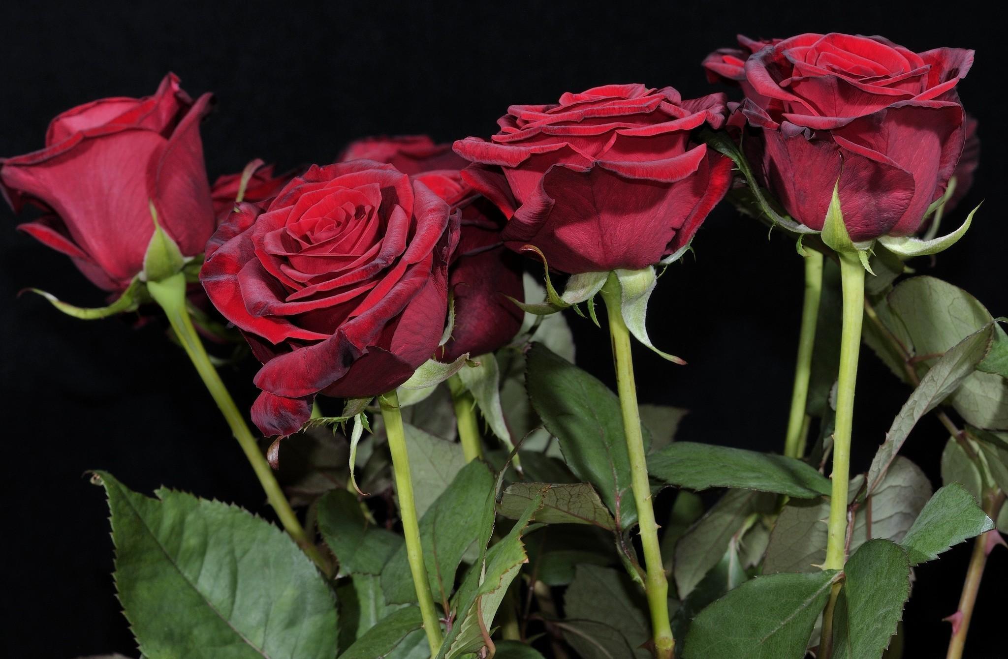 Wallpaper Mawar Merah Bunga Latar Belakang Hitam 2048x1340