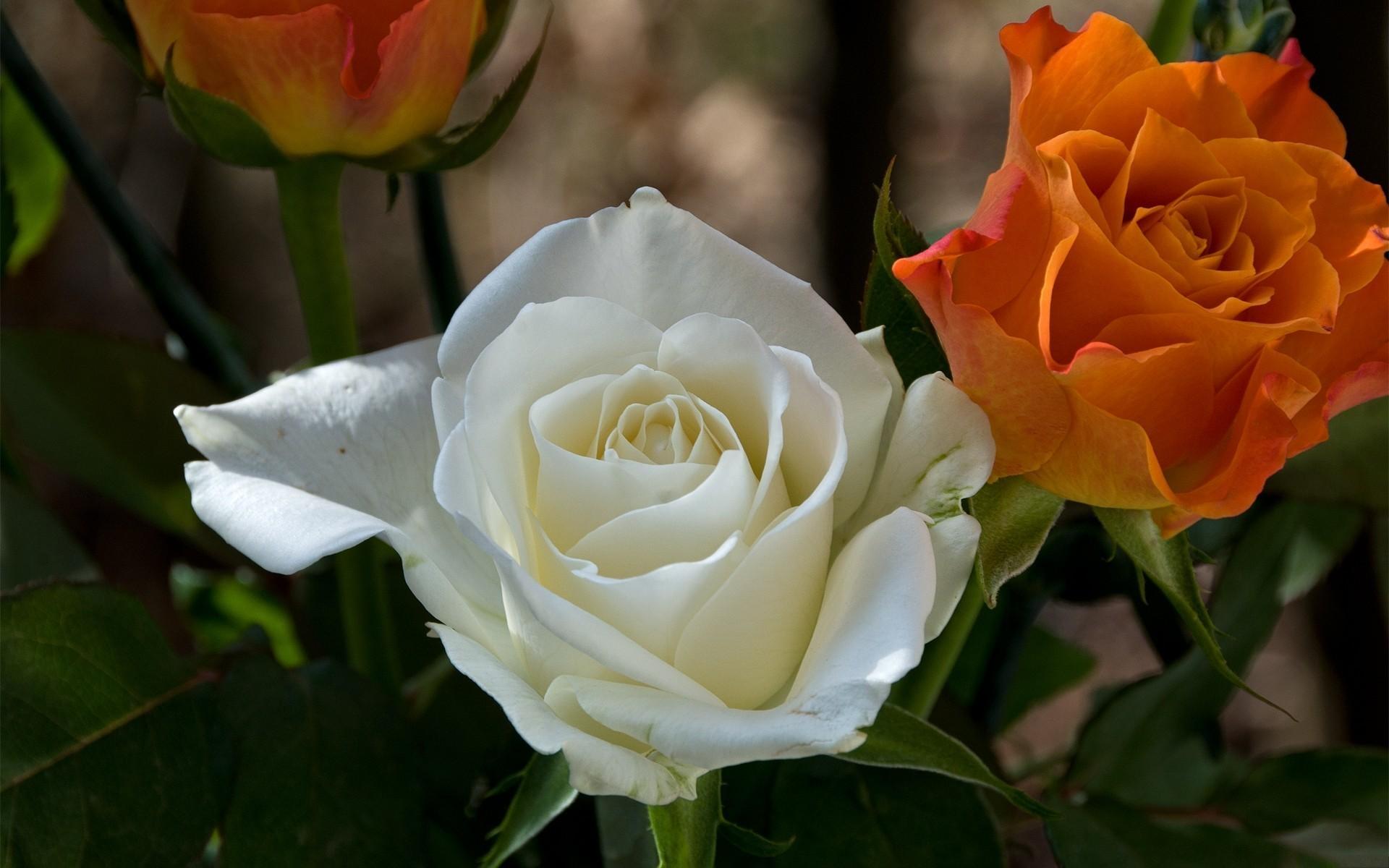 Угодник чудотворец, розы фото