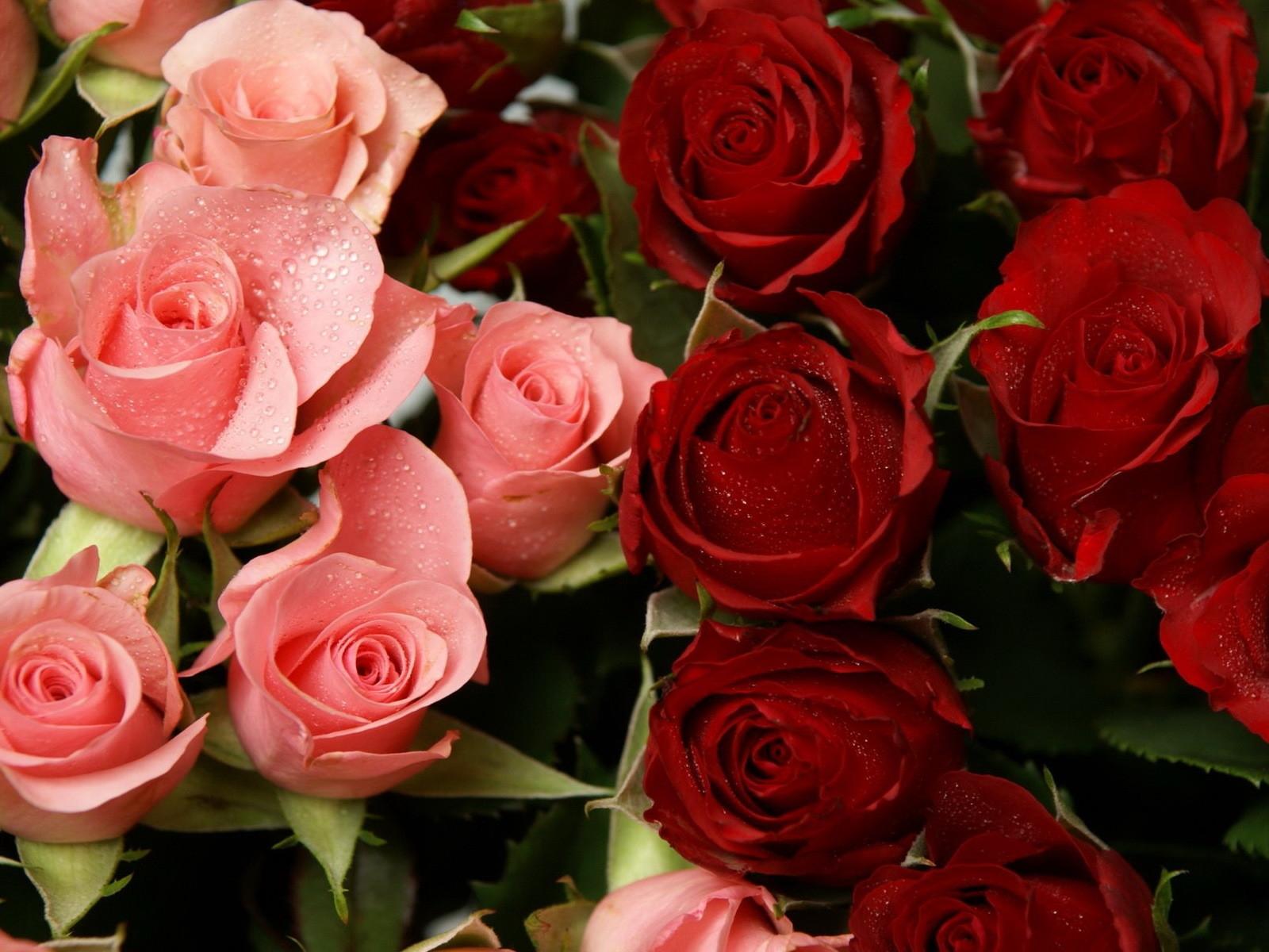 Новые картинки на телефон розы