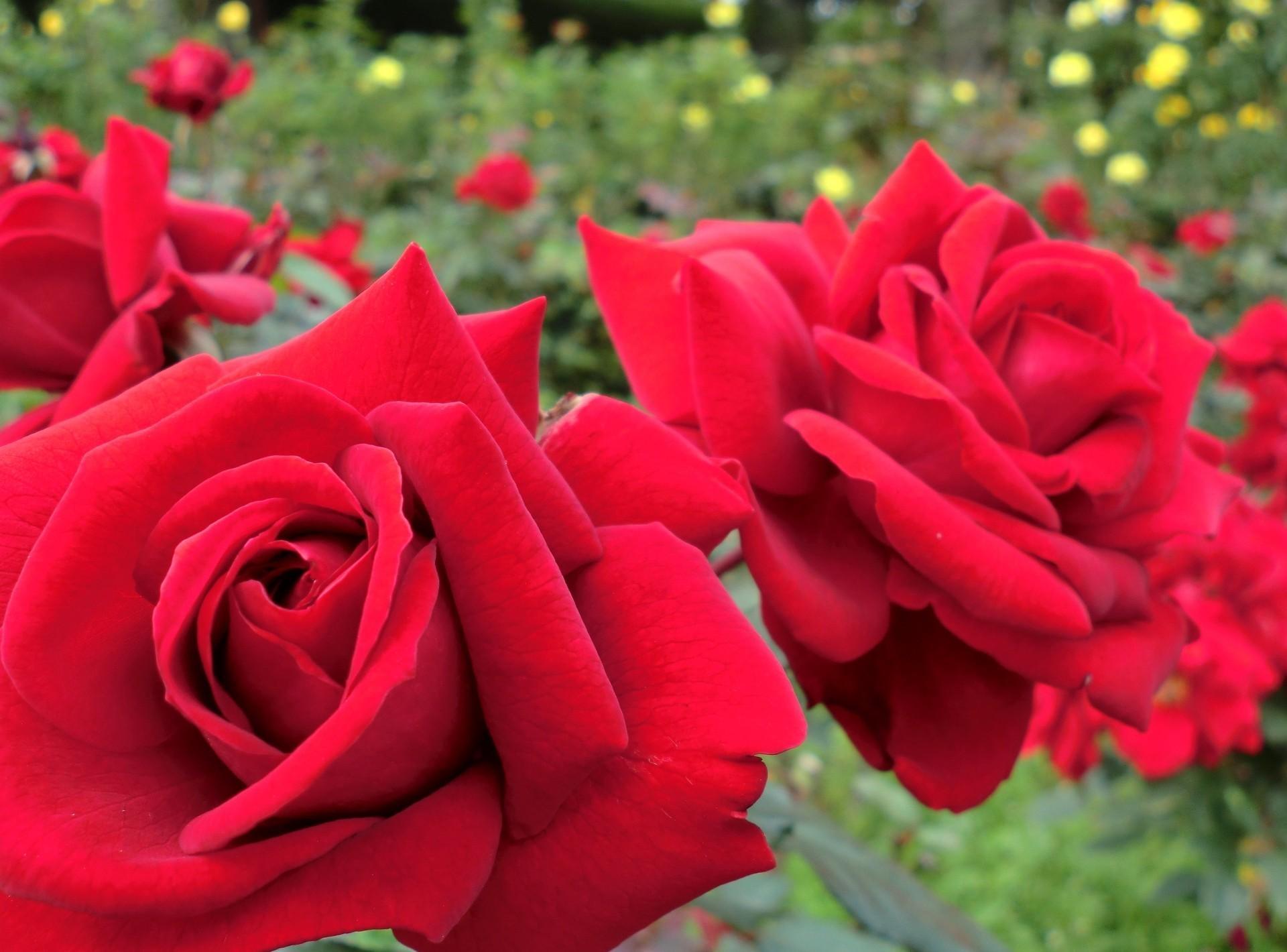 Открытки розы в саду