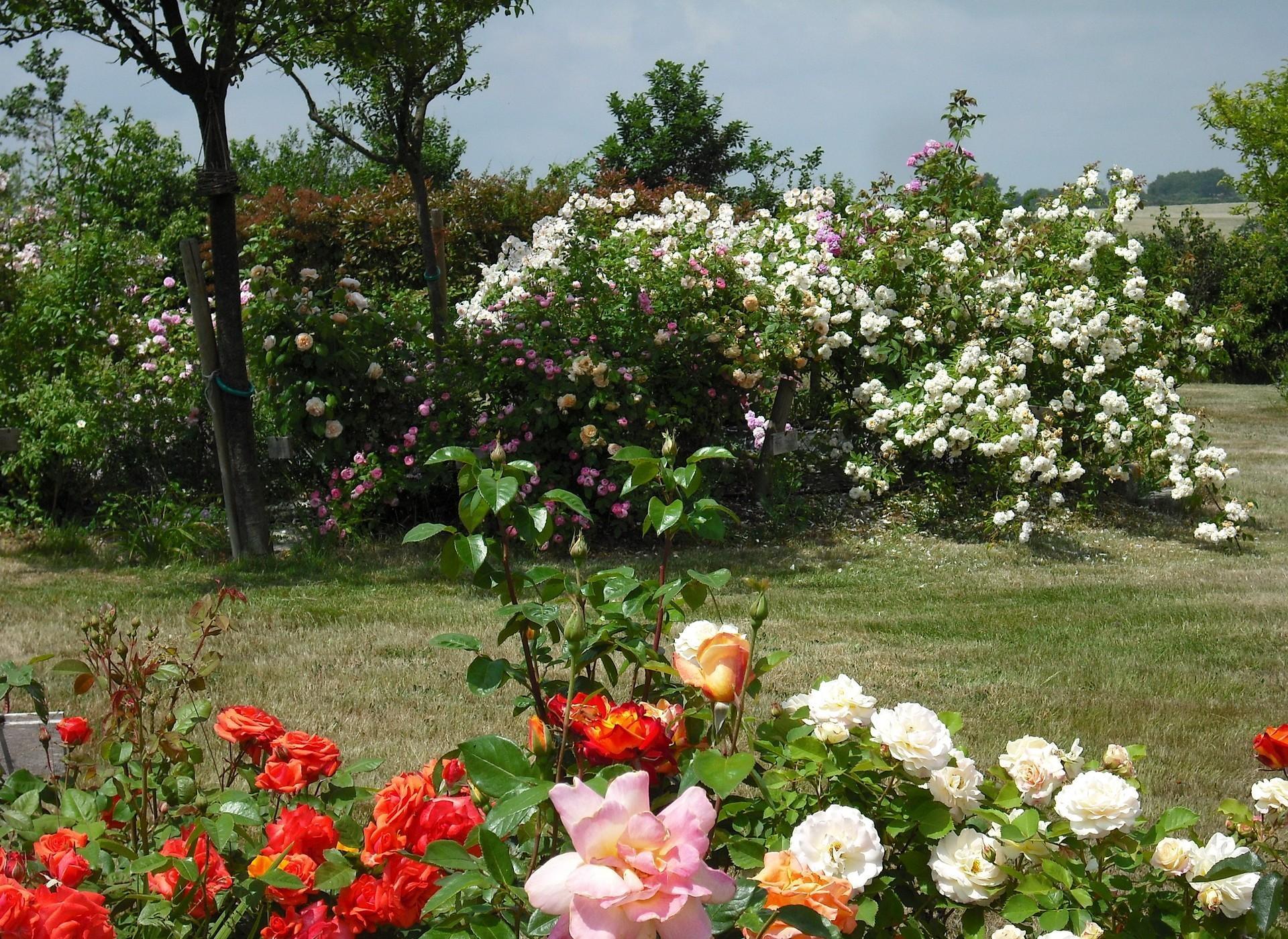 Wallpaper Roses Flowers Shrubs Garden Park Lawn 1920x1400 4kwallpaper 1082371 Hd Wallpapers Wallhere