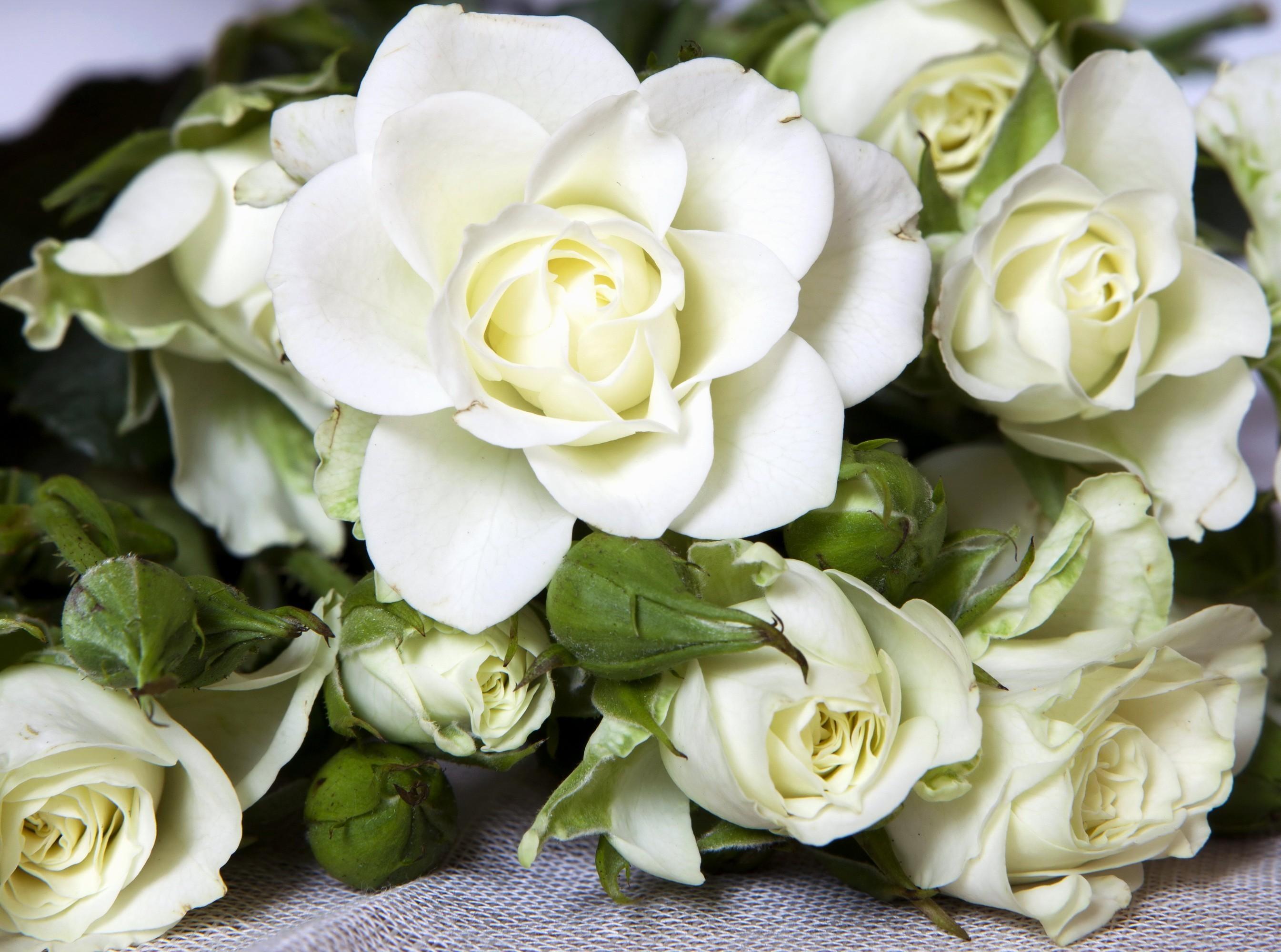 существует фото на тему шикарные белые розы подбора марке, модели
