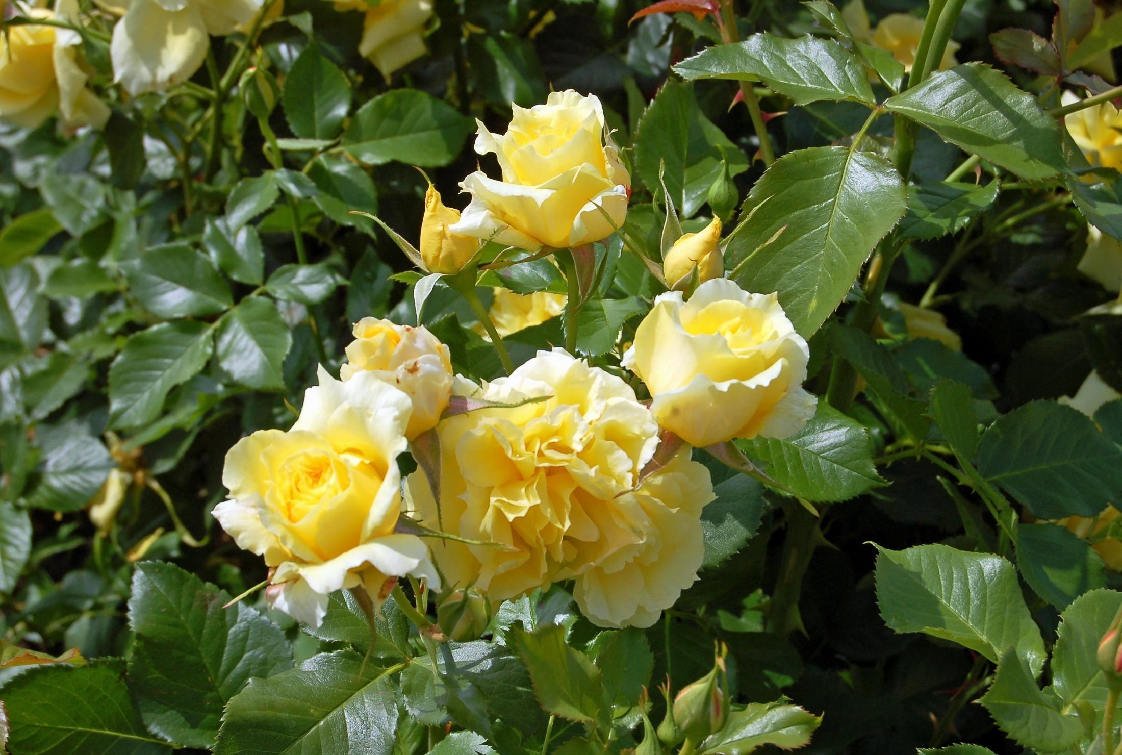 чайная роза фото кустарник каждая девушка при