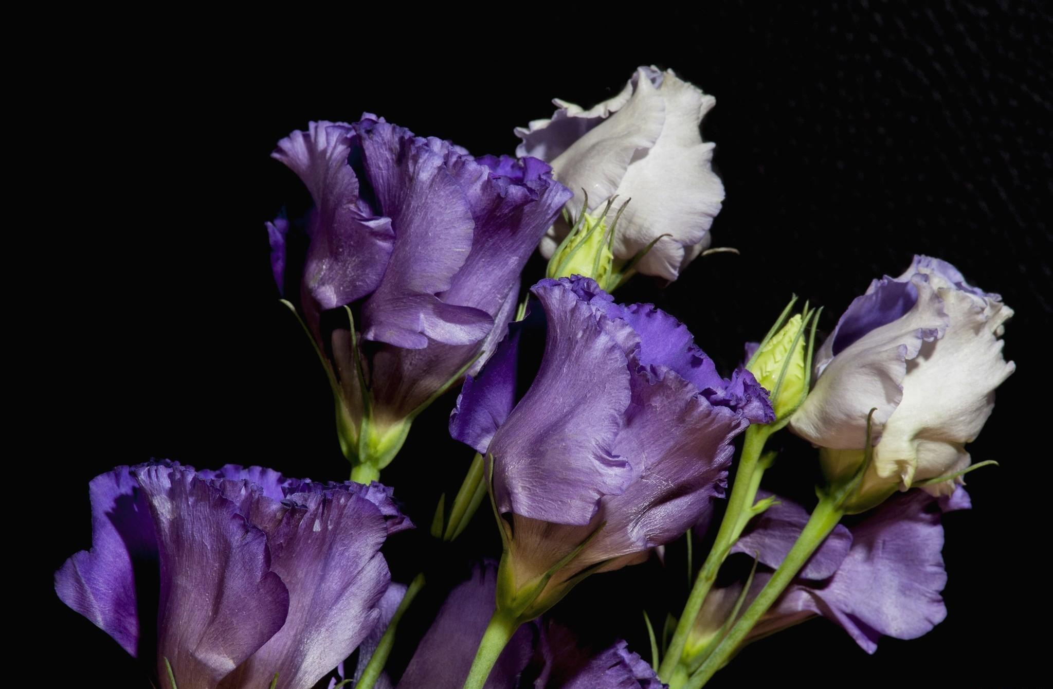 обои для рабочего стола цветы эустома № 631857 без смс