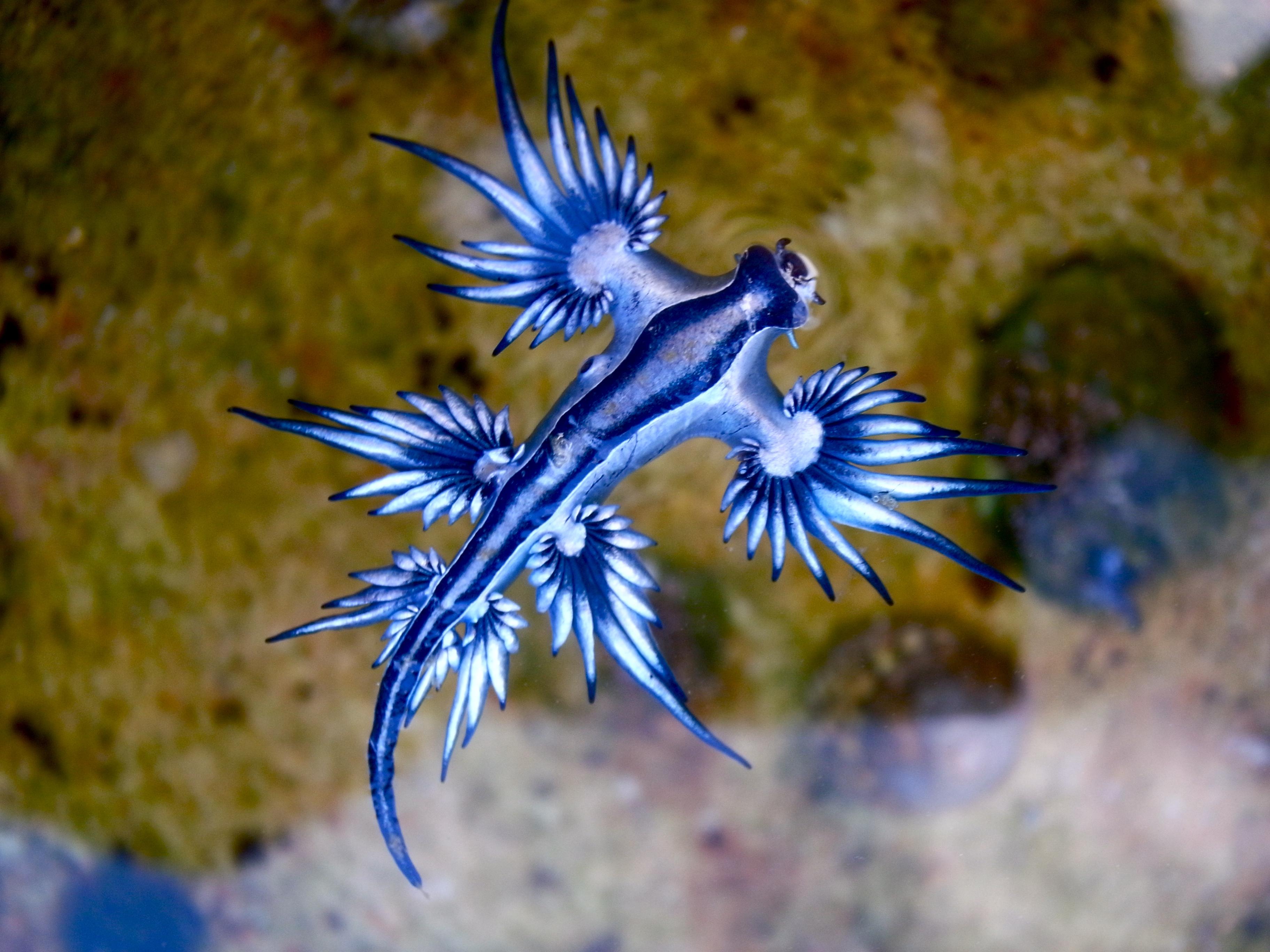 blue sea slug Find great deals on ebay for blue dragon sea slug shop with confidence.