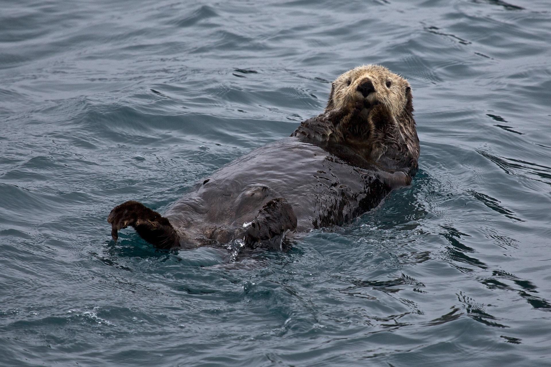 sea water wet seals ocean otter swim mammal vertebrate marine mammal mustelidae harbor seal sea otter