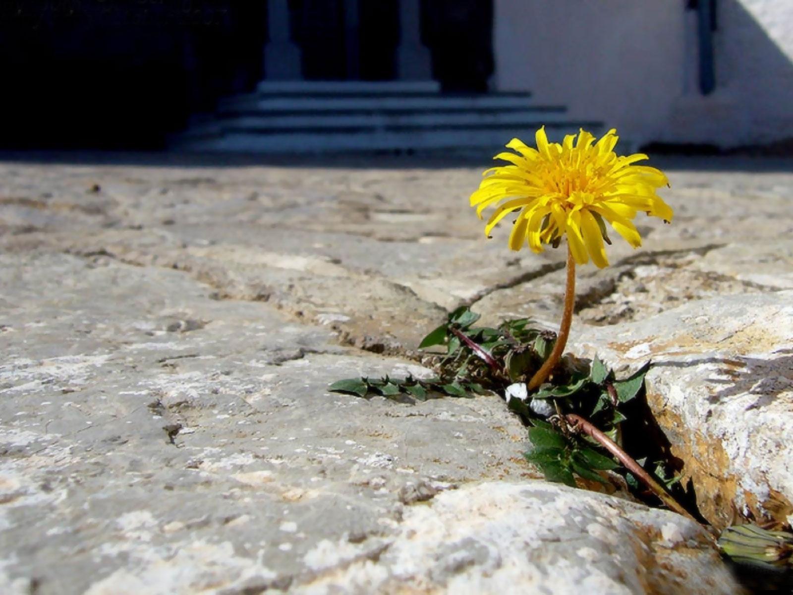 Фото цветка растущего сквозь асфальт