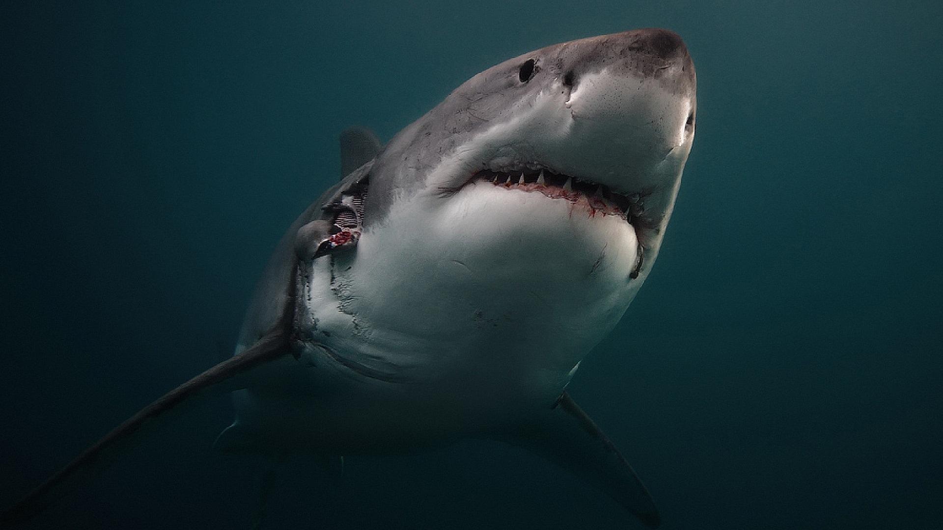 Wallpaper Shark Predator Underwater 1920x1080