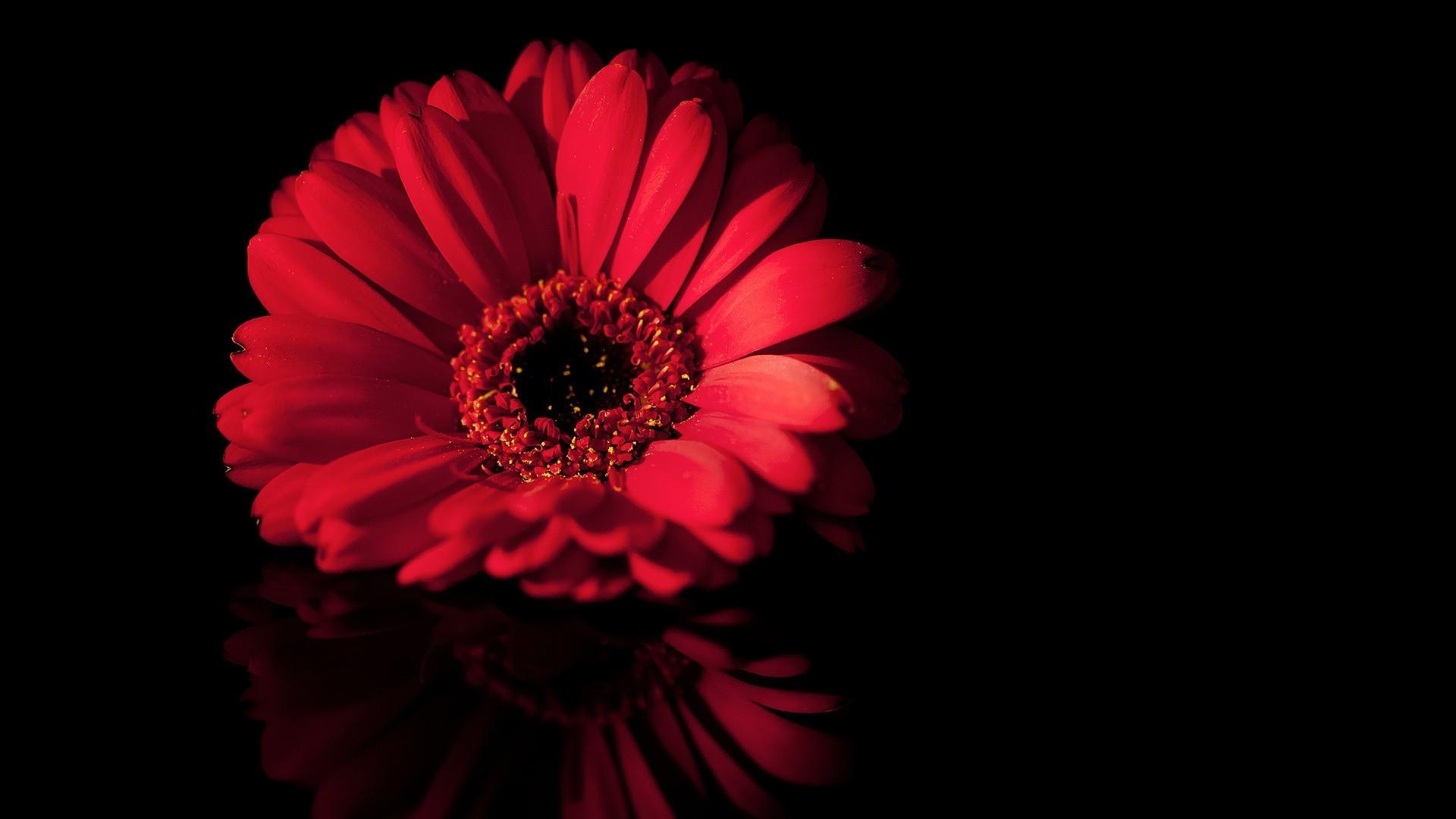 Sfondi Sfondo Semplice Rosso Fiori Rossi Fiore Petalo Bianco