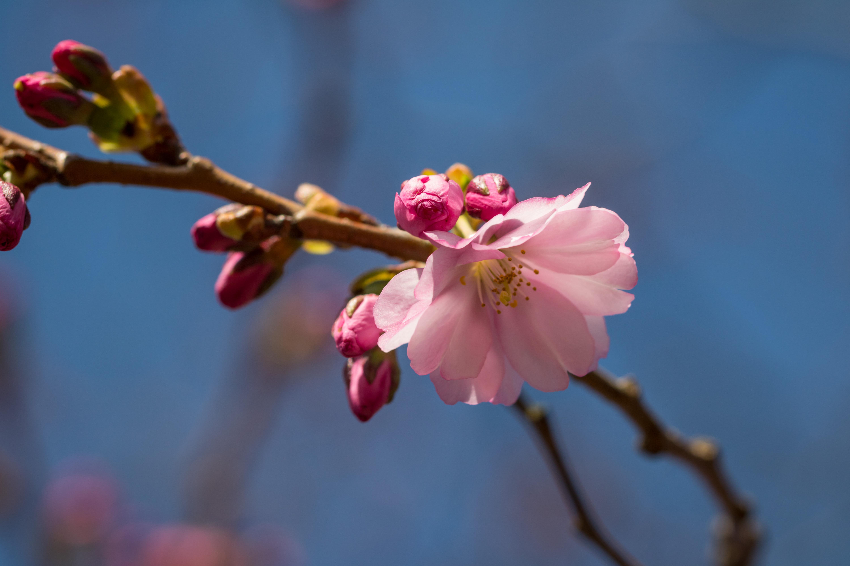 Sfondi cielo ramo fiore di ciliegio fiorire rosa for Pianta di ciliegio