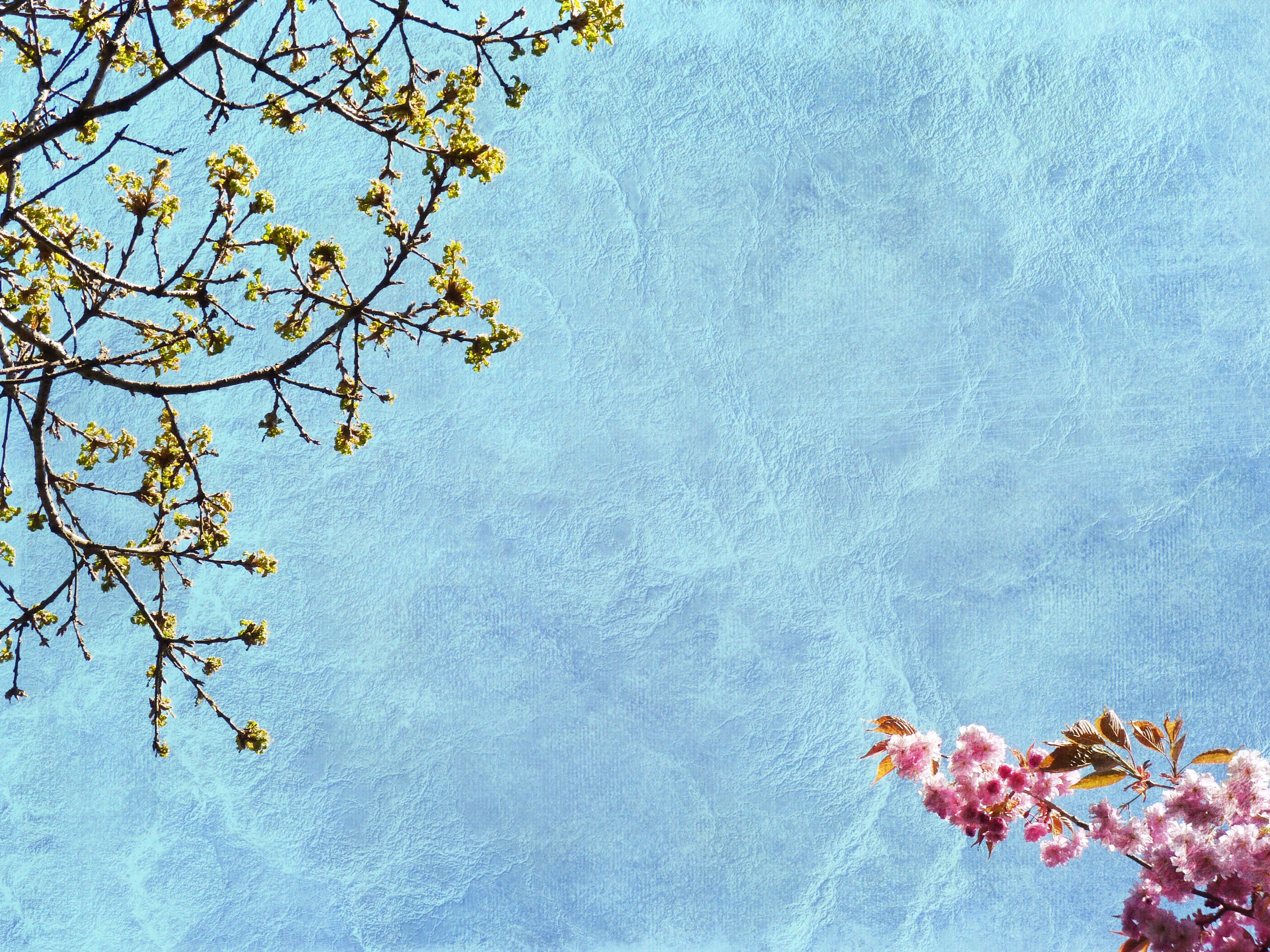 Sky Branch Cherry Blossom Pink Spring Zen Tree Leaf Flower Plant Sakura Minimal Petal Daytime