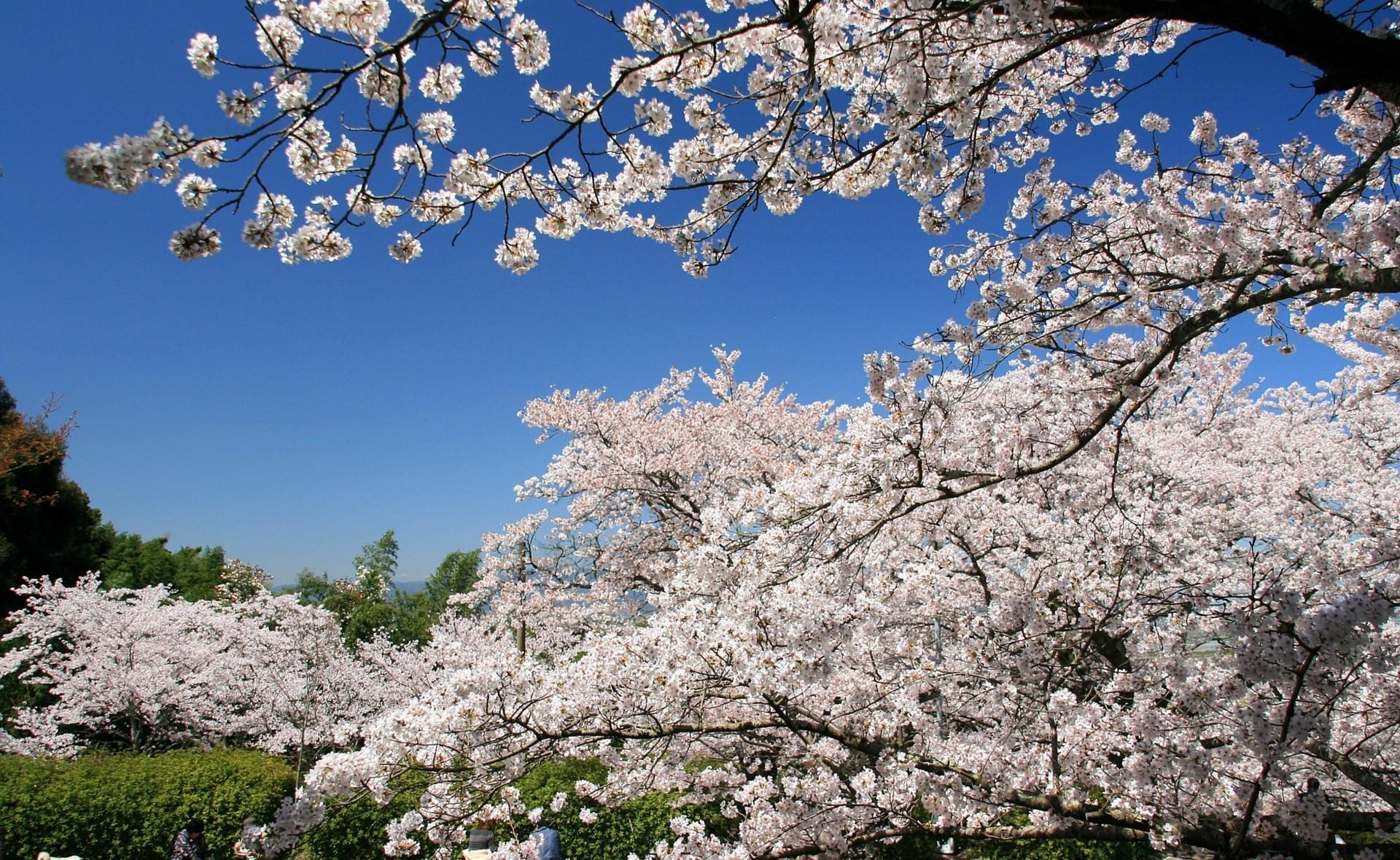 обставляют весна вишня цветет фото только