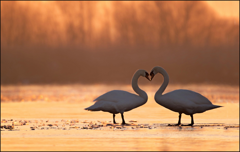 Wallpaper Sky Calm Morning Swan Canon Beak Op