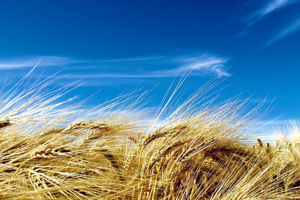 больница фото пшеничного поля и синего неба время огромное количество