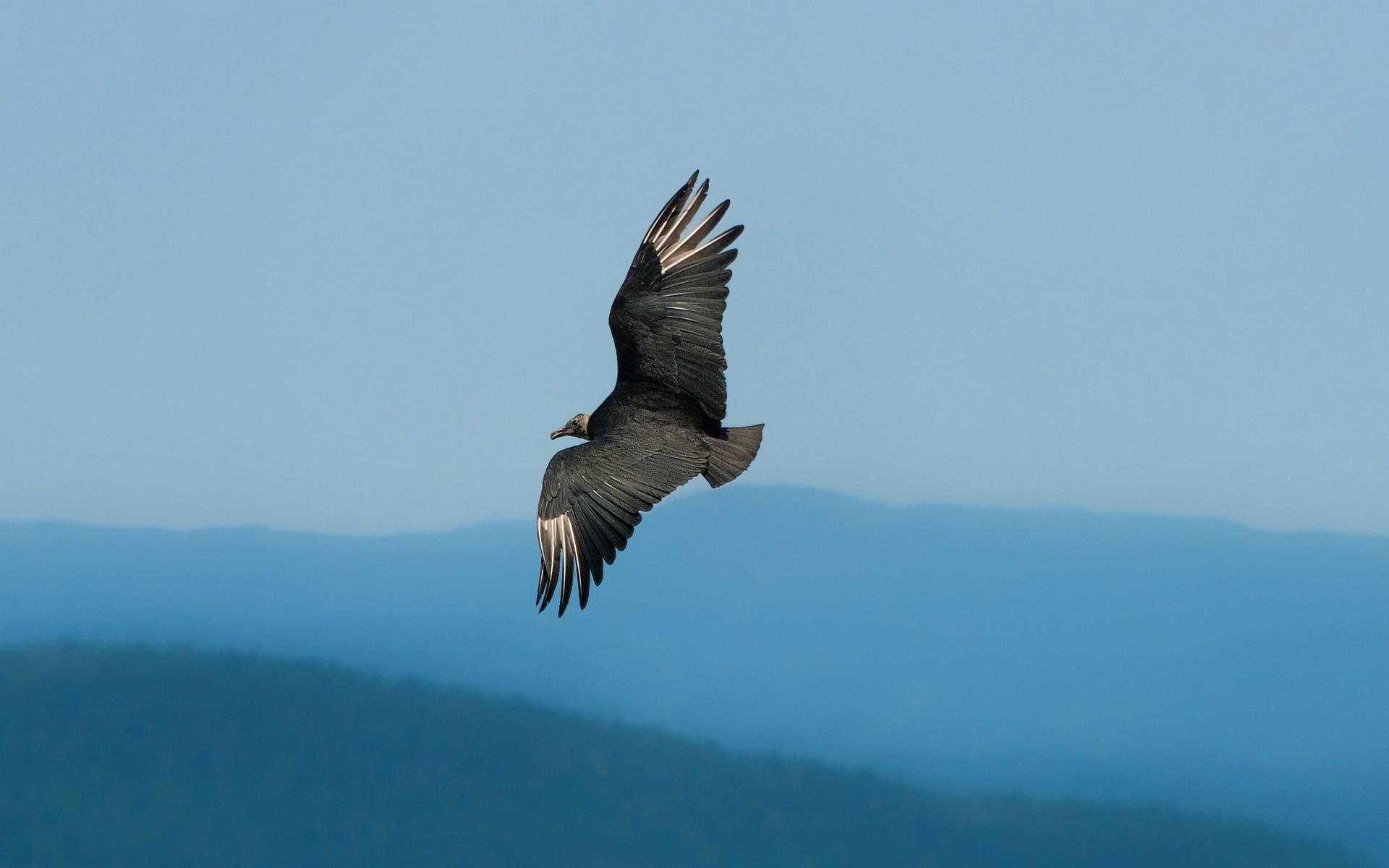 75+ Gambar Burung Rajawali Terbang Gratis Terbaru