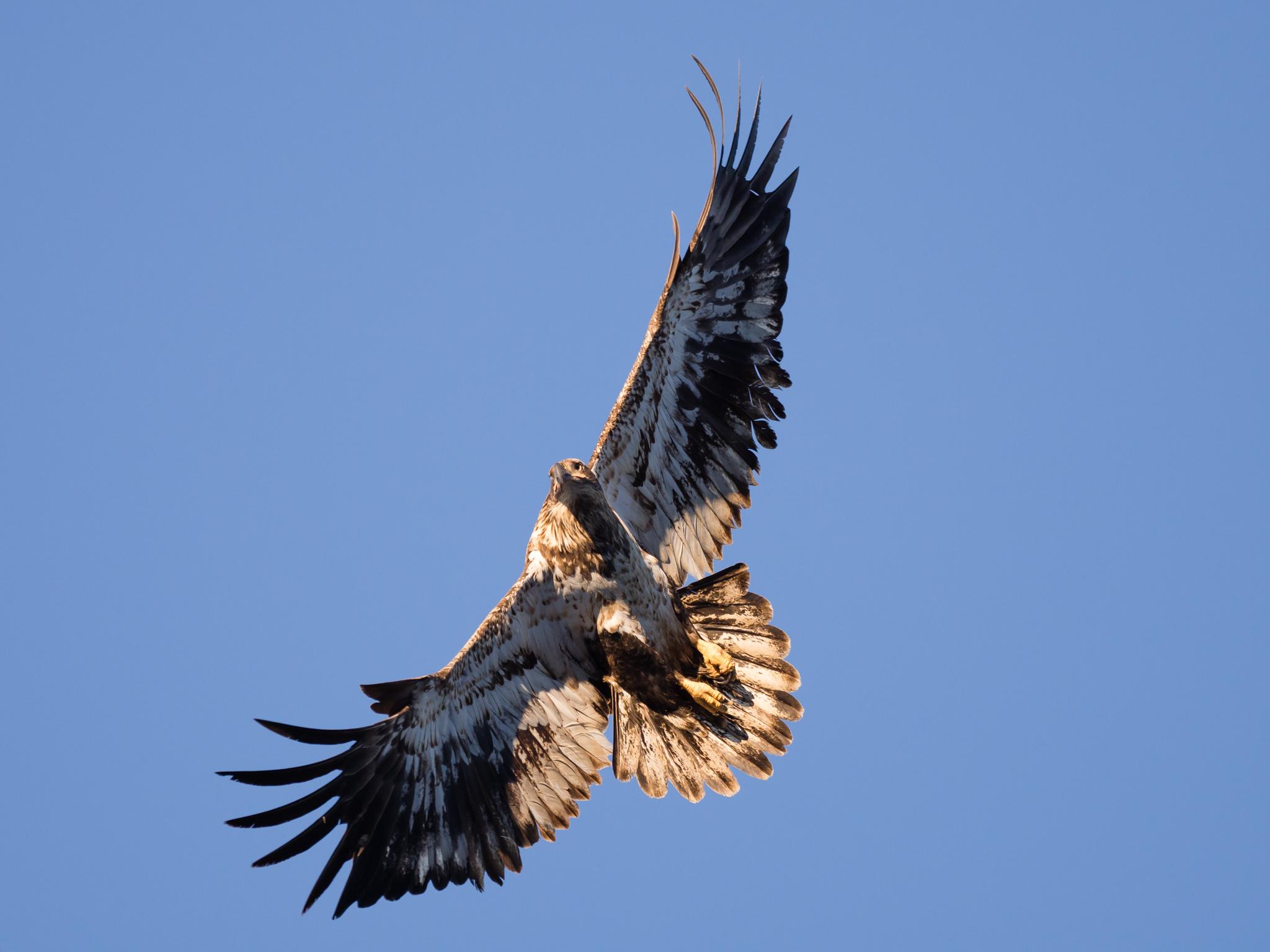 7700 Koleksi Gambar Burung Rajawali Paling Bagus HD Terbaru