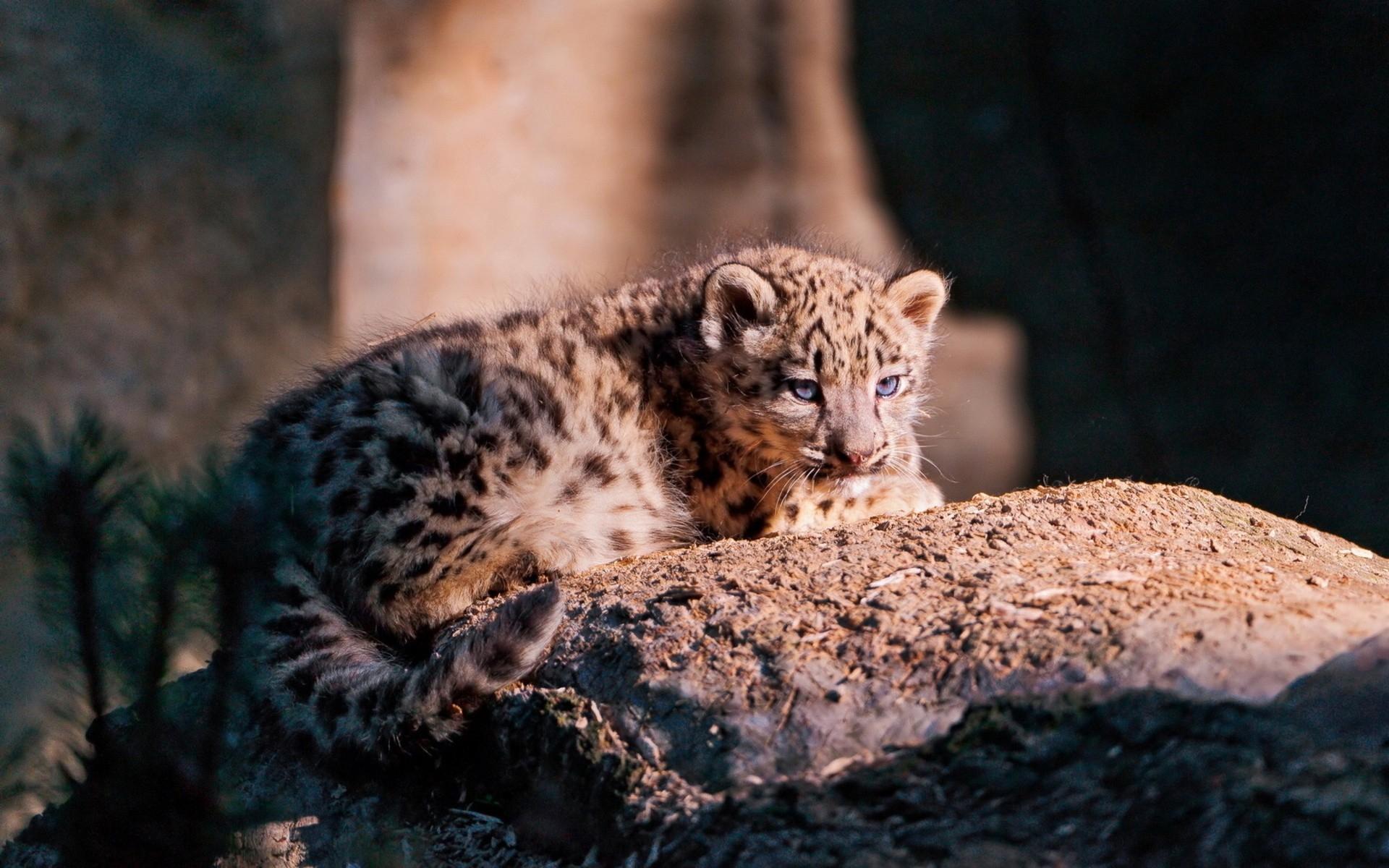 Snow Leopard Cub Stone Lying