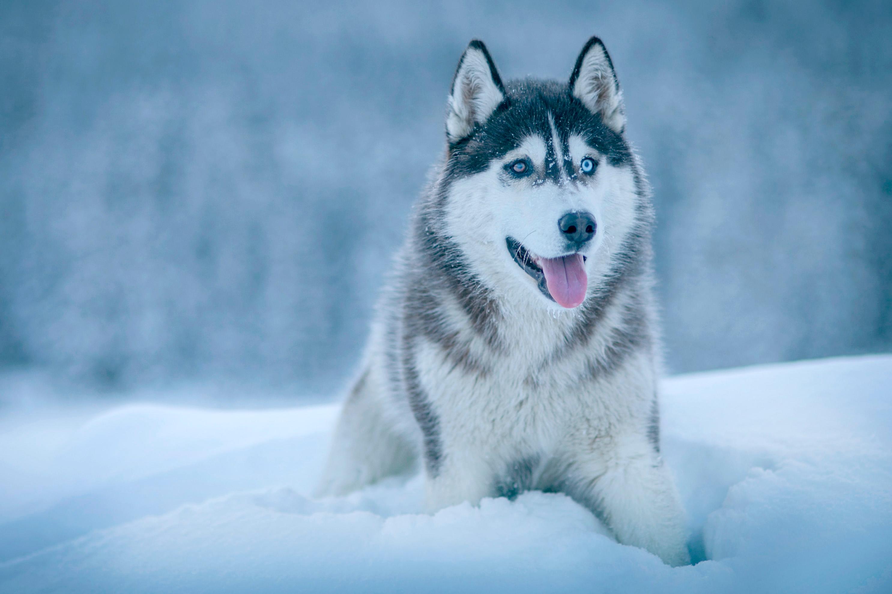 картинки хаски зима википедии есть статьи